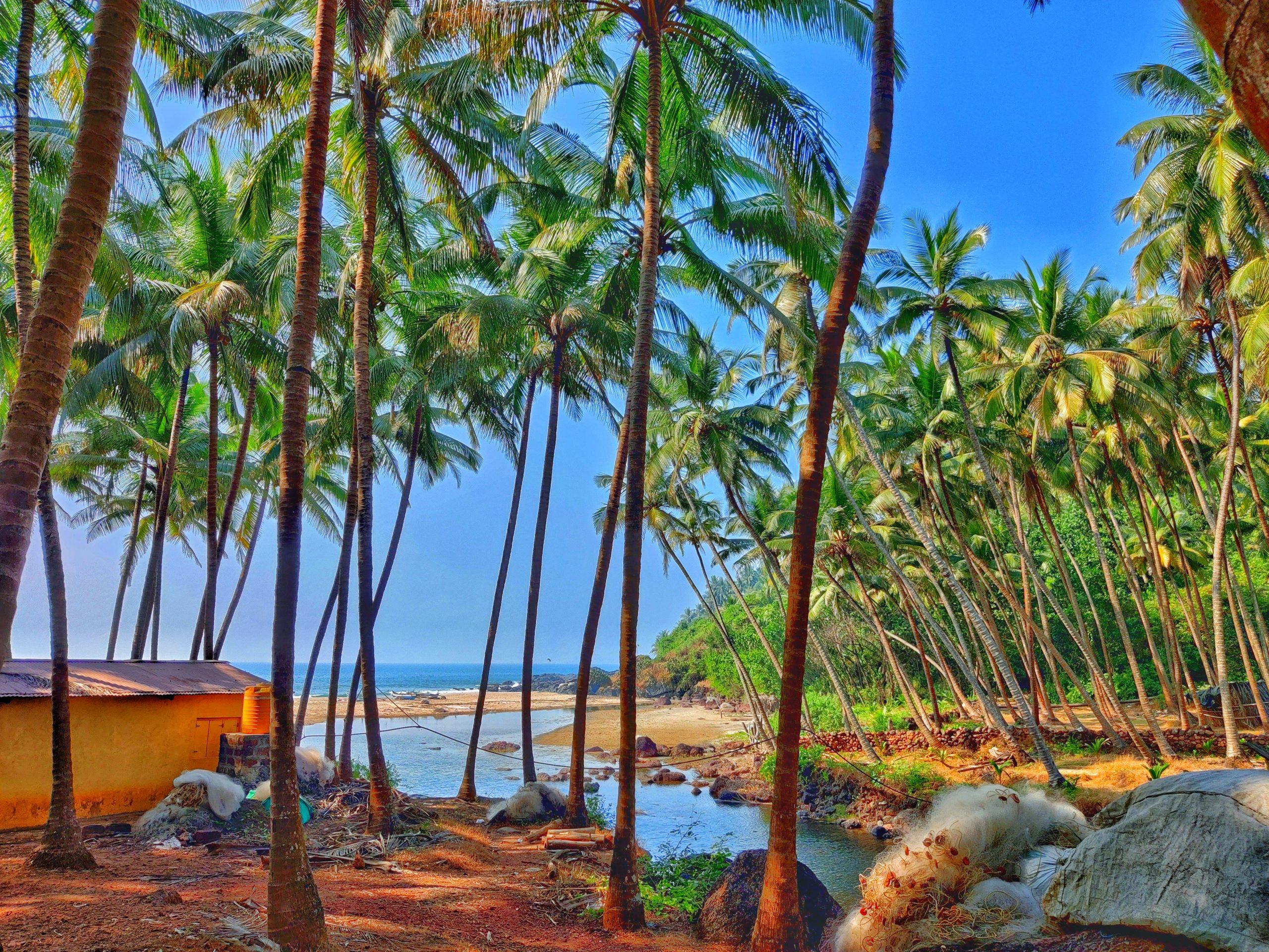 Palm tree at Vengurla beach