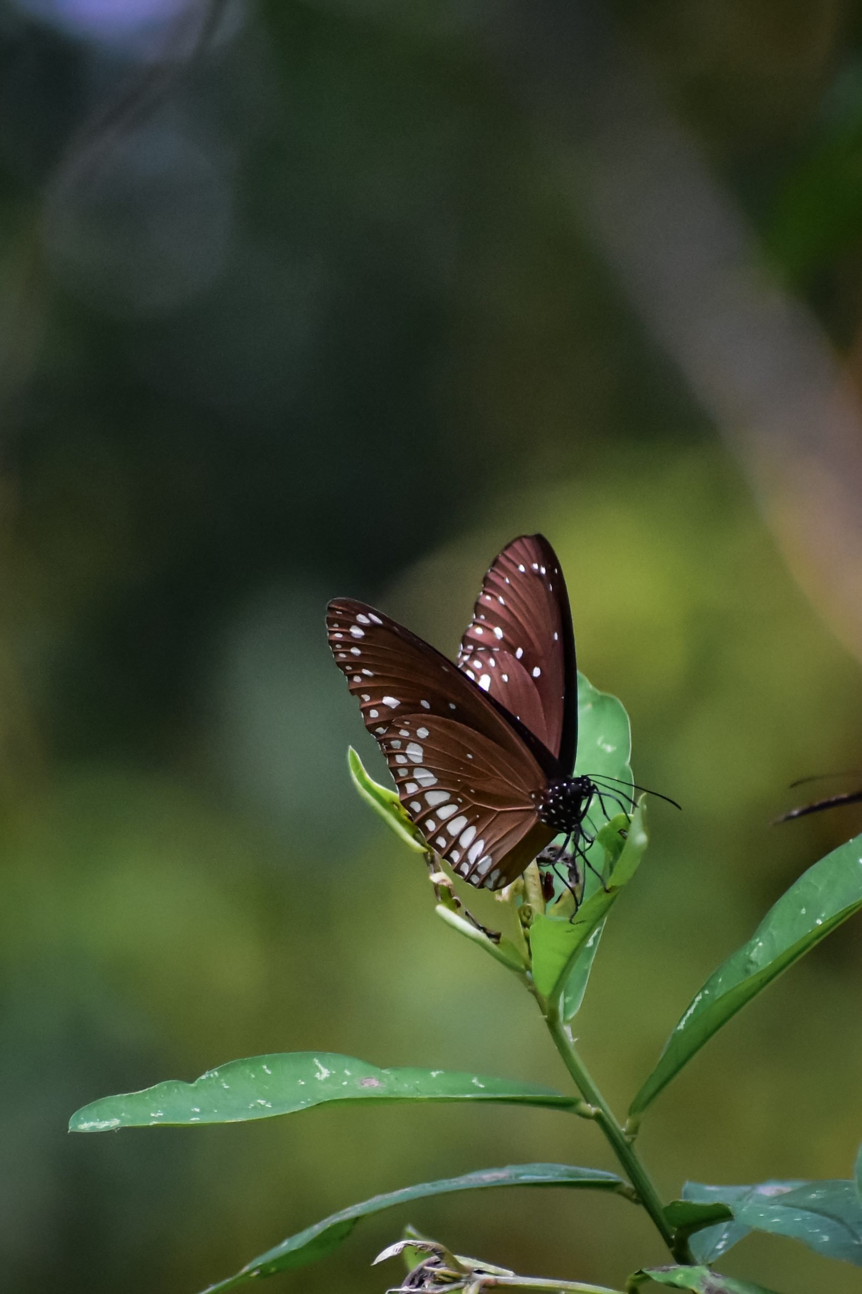 White Dotted Butterfly