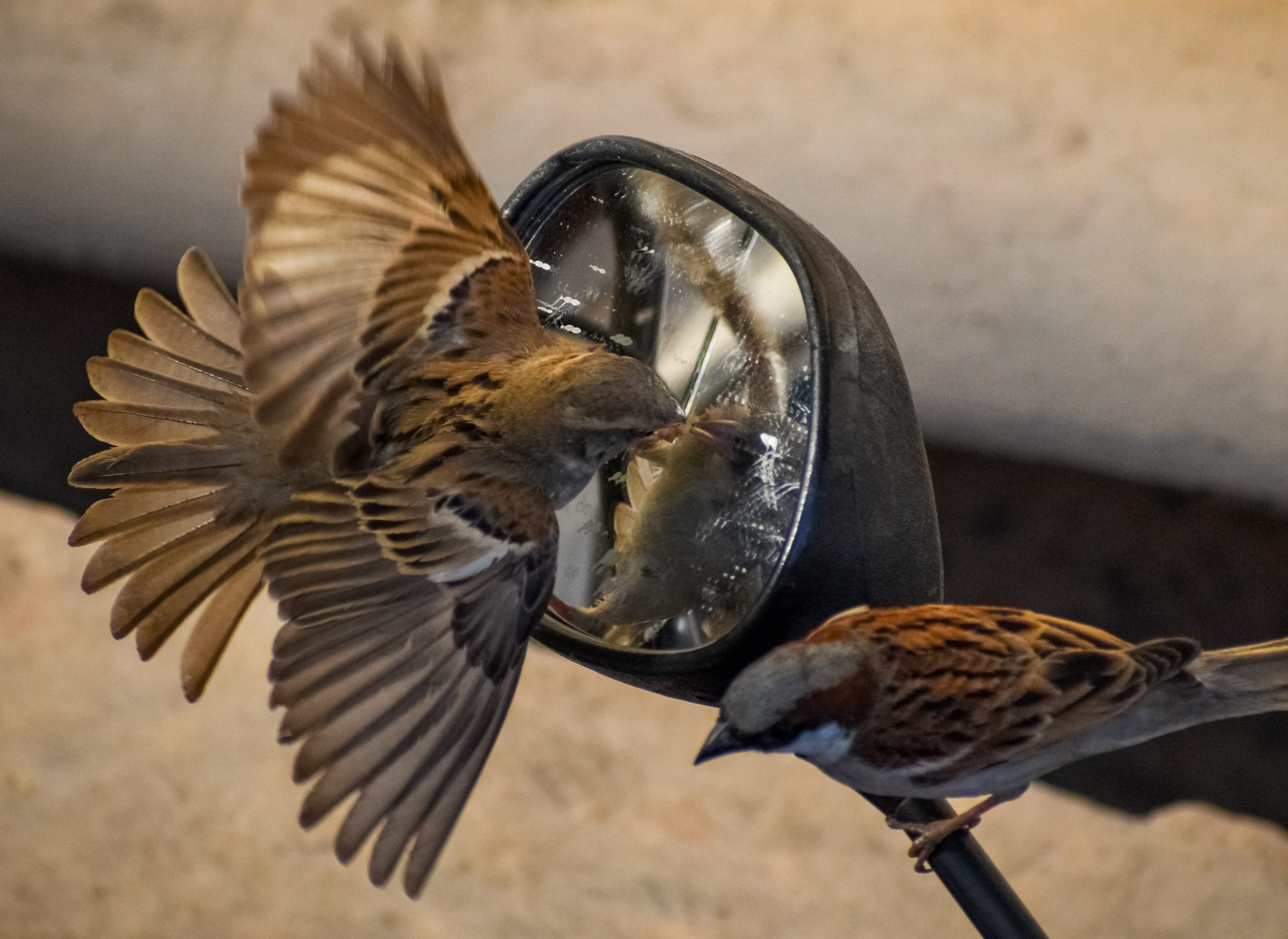 Birds playing with mirror