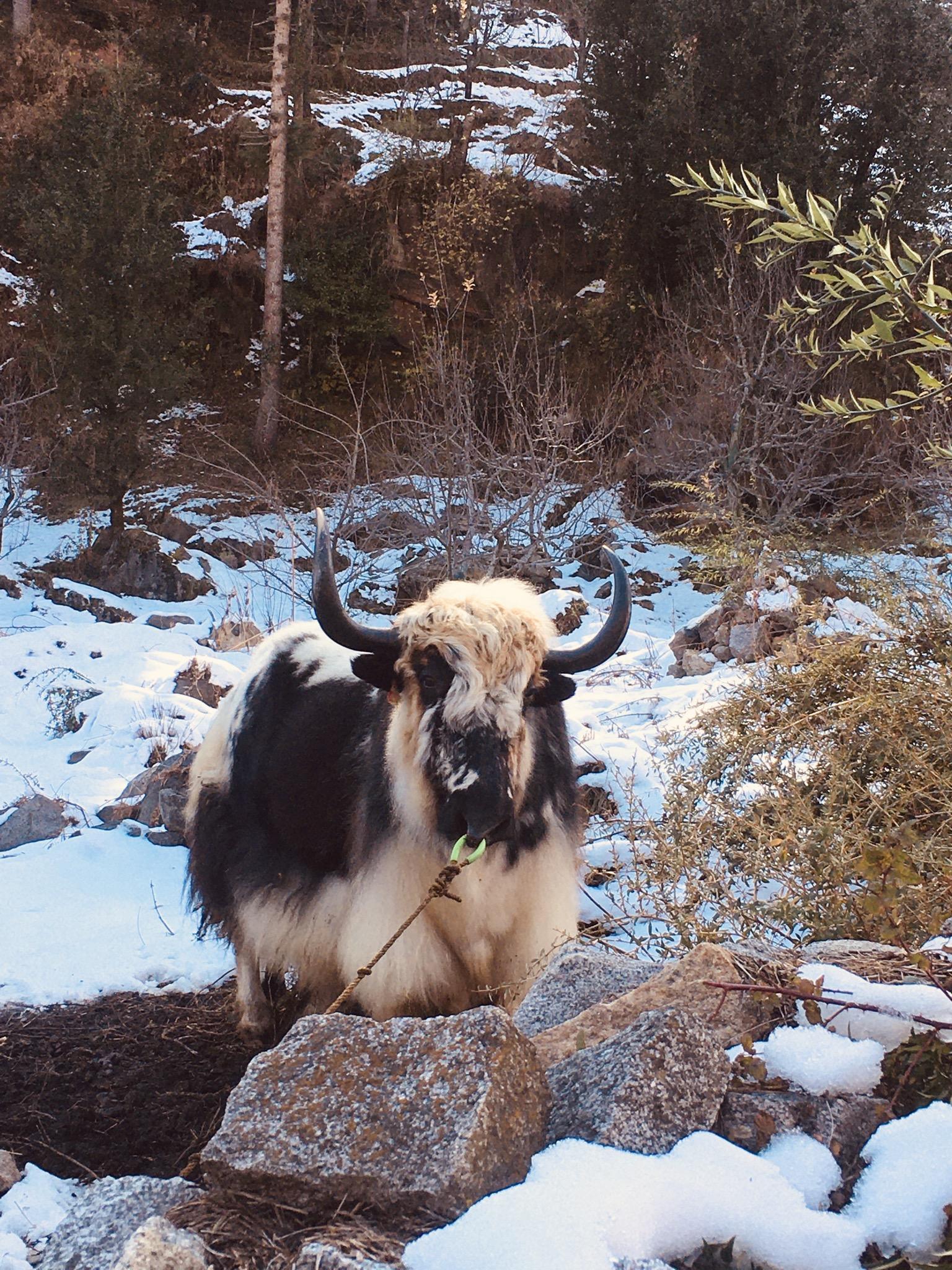 Yak in snow