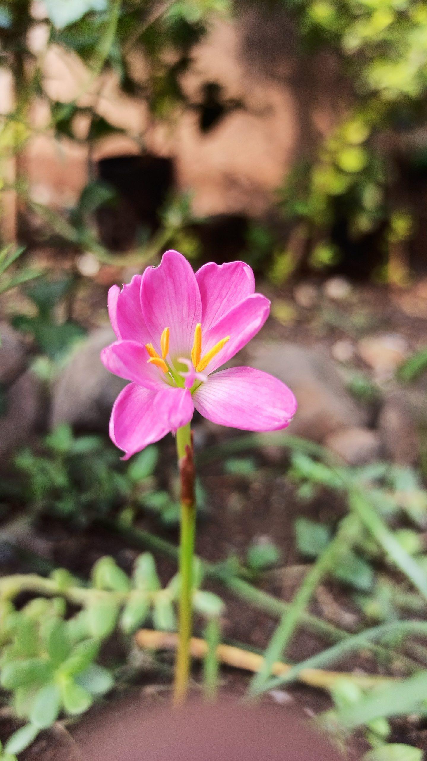 Pink Zephyranthes minuta