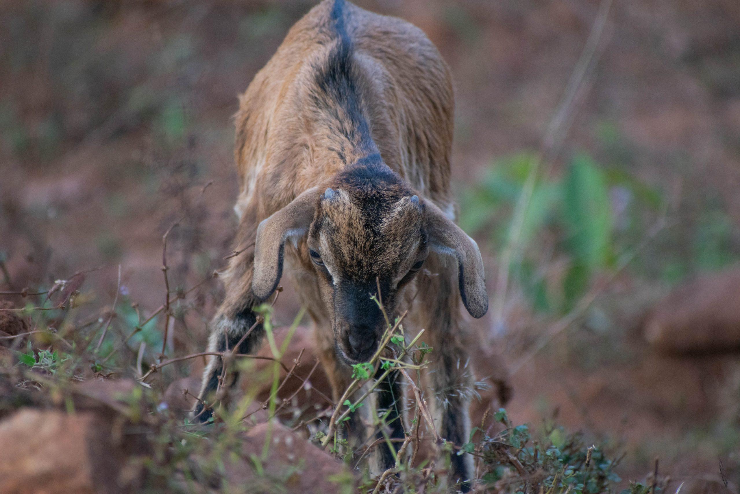 a goat in wild