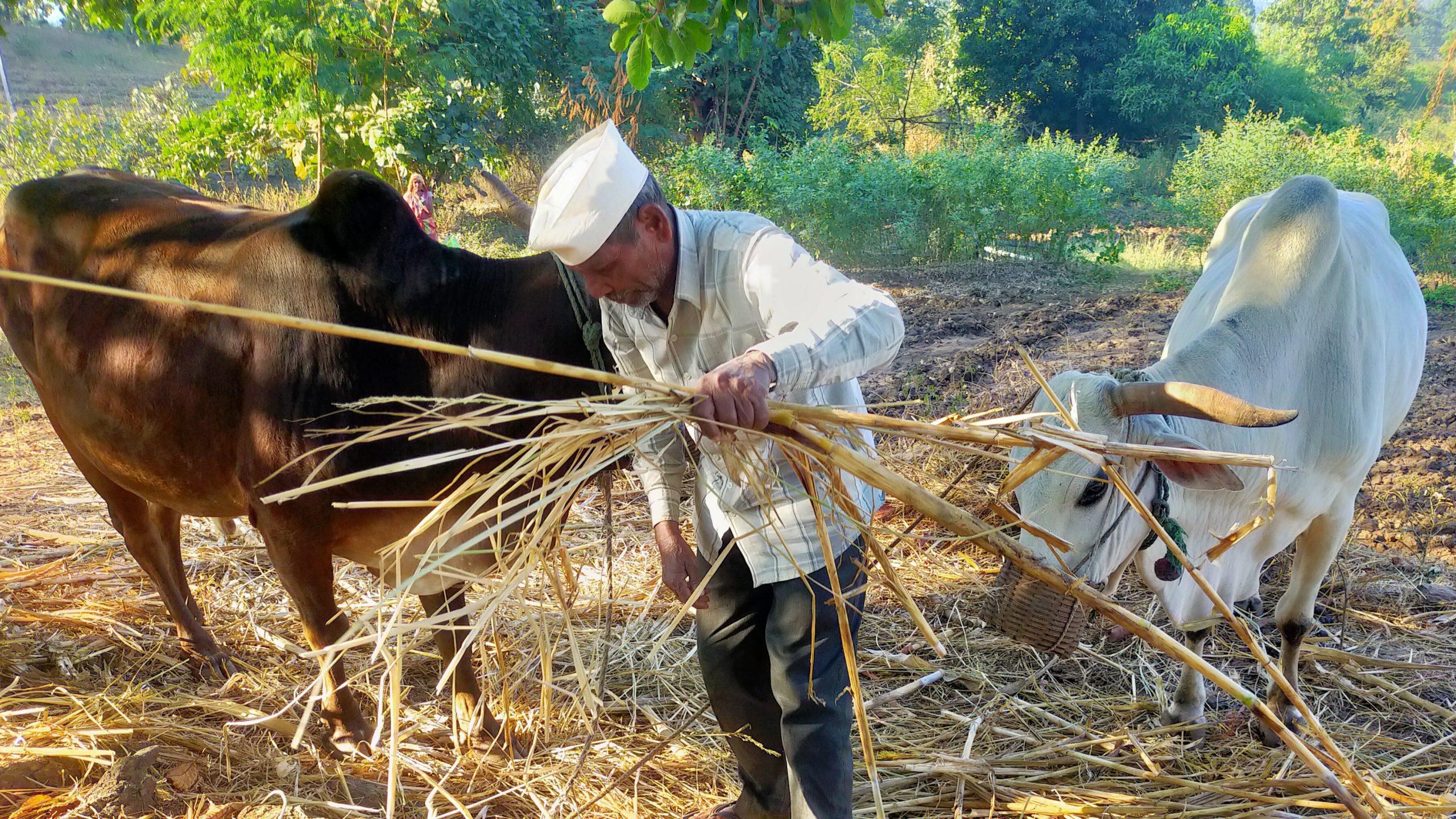 A farmer feeding his oxen