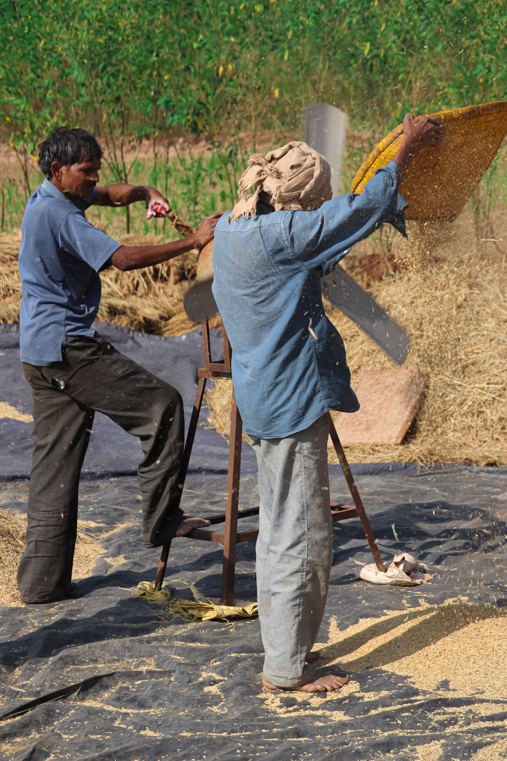 Farmers cleaning the grains