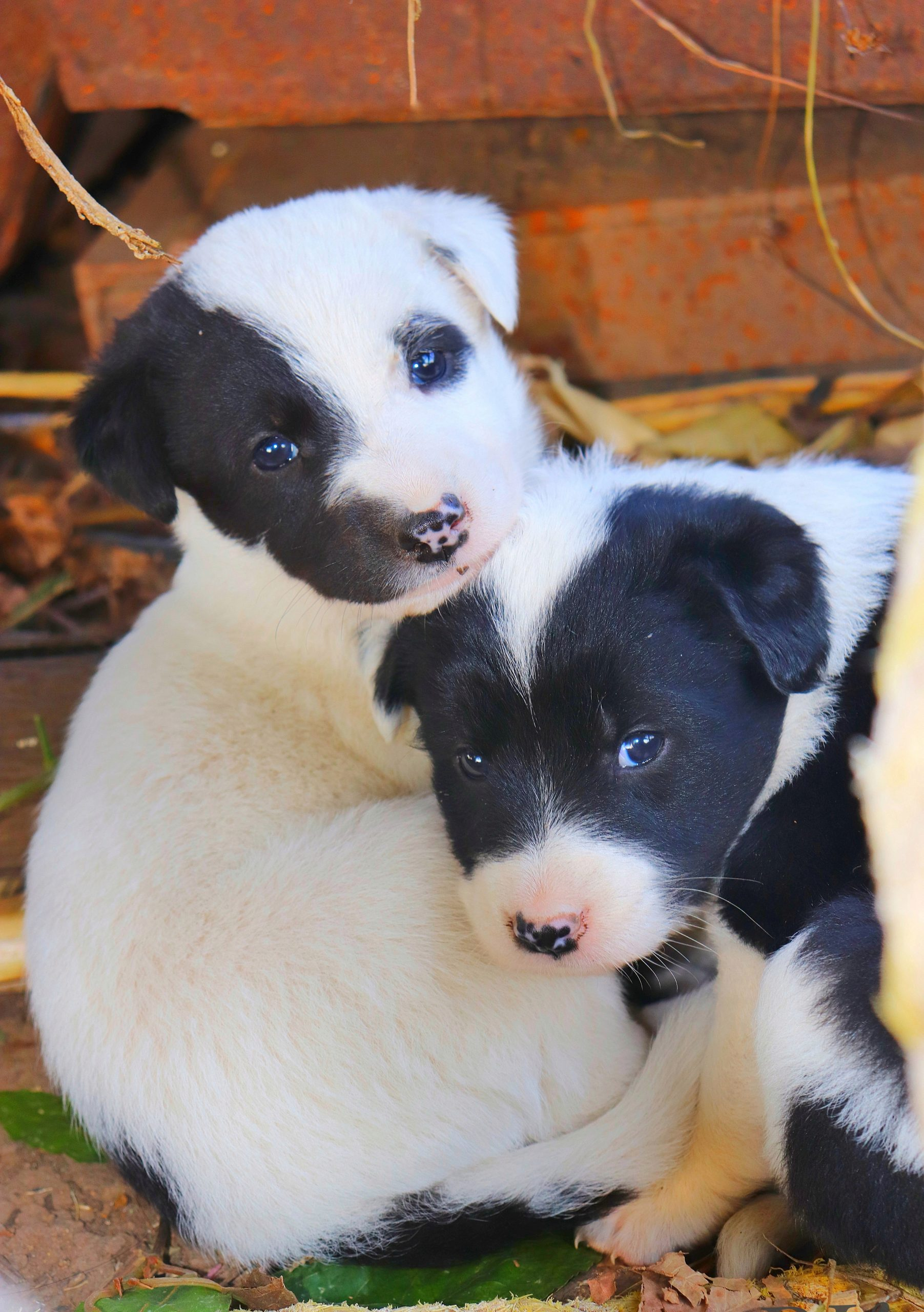 puppies with patches