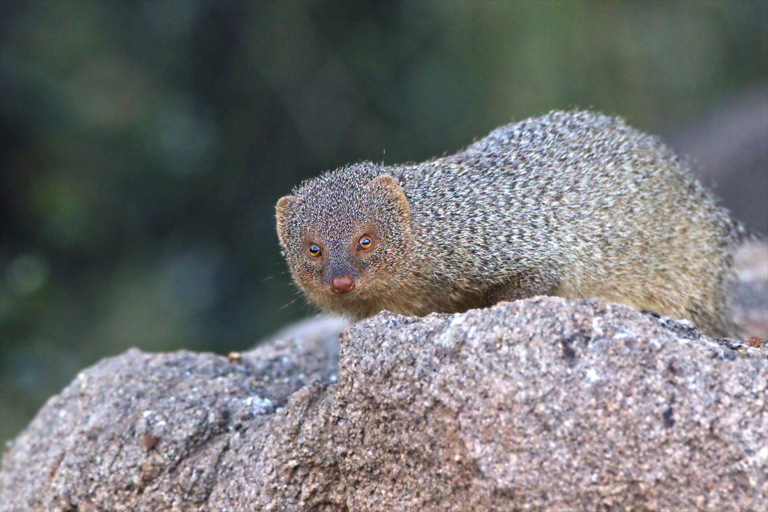 Weasel on rock