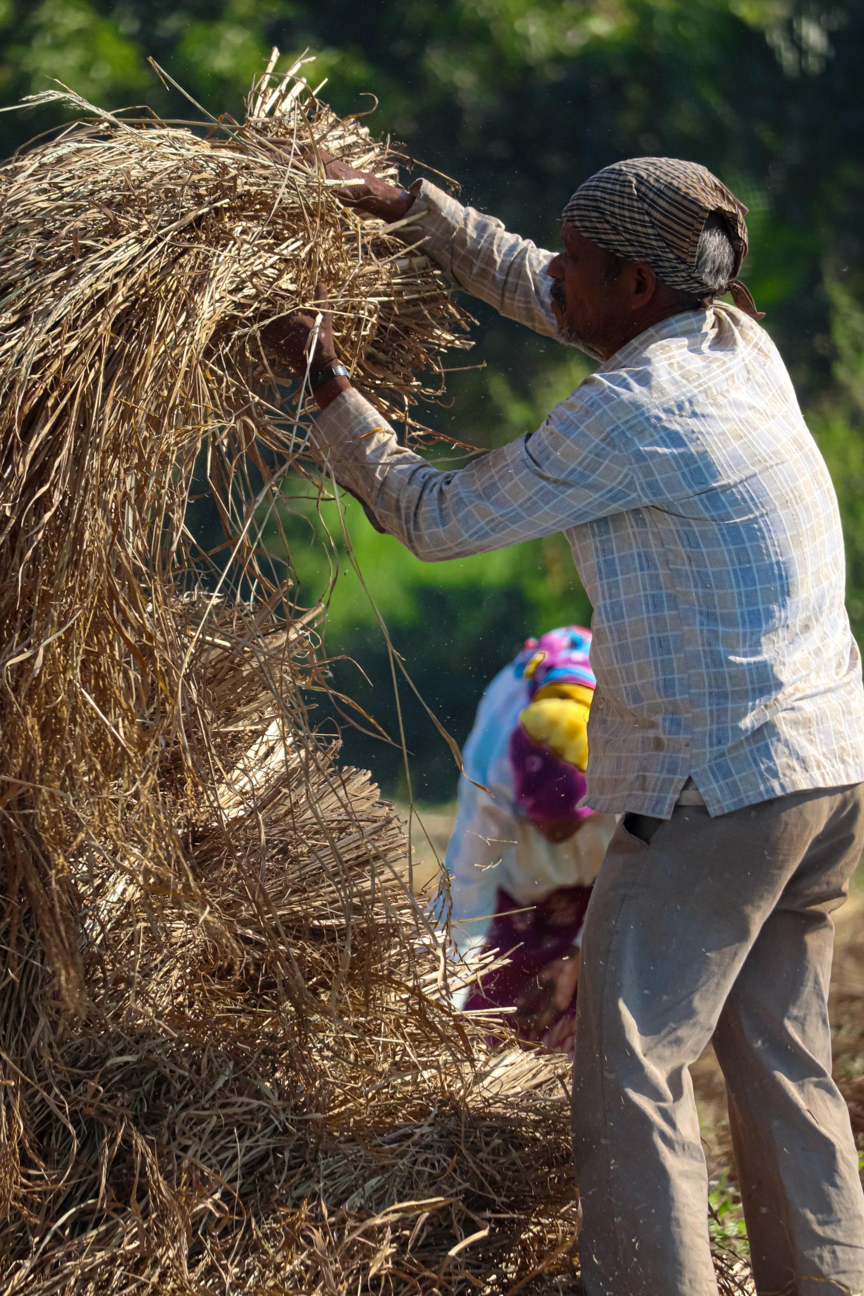 A man lifting rice plant bundles