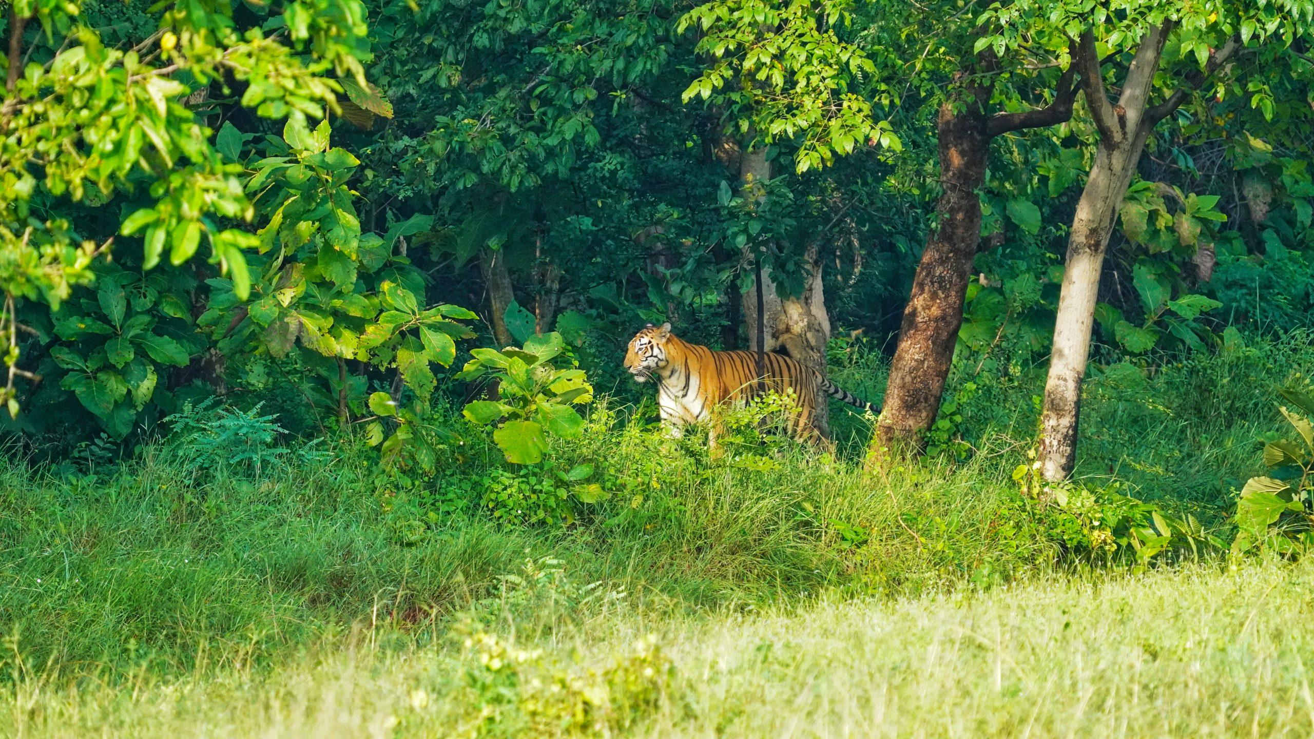 A Bengal tiger