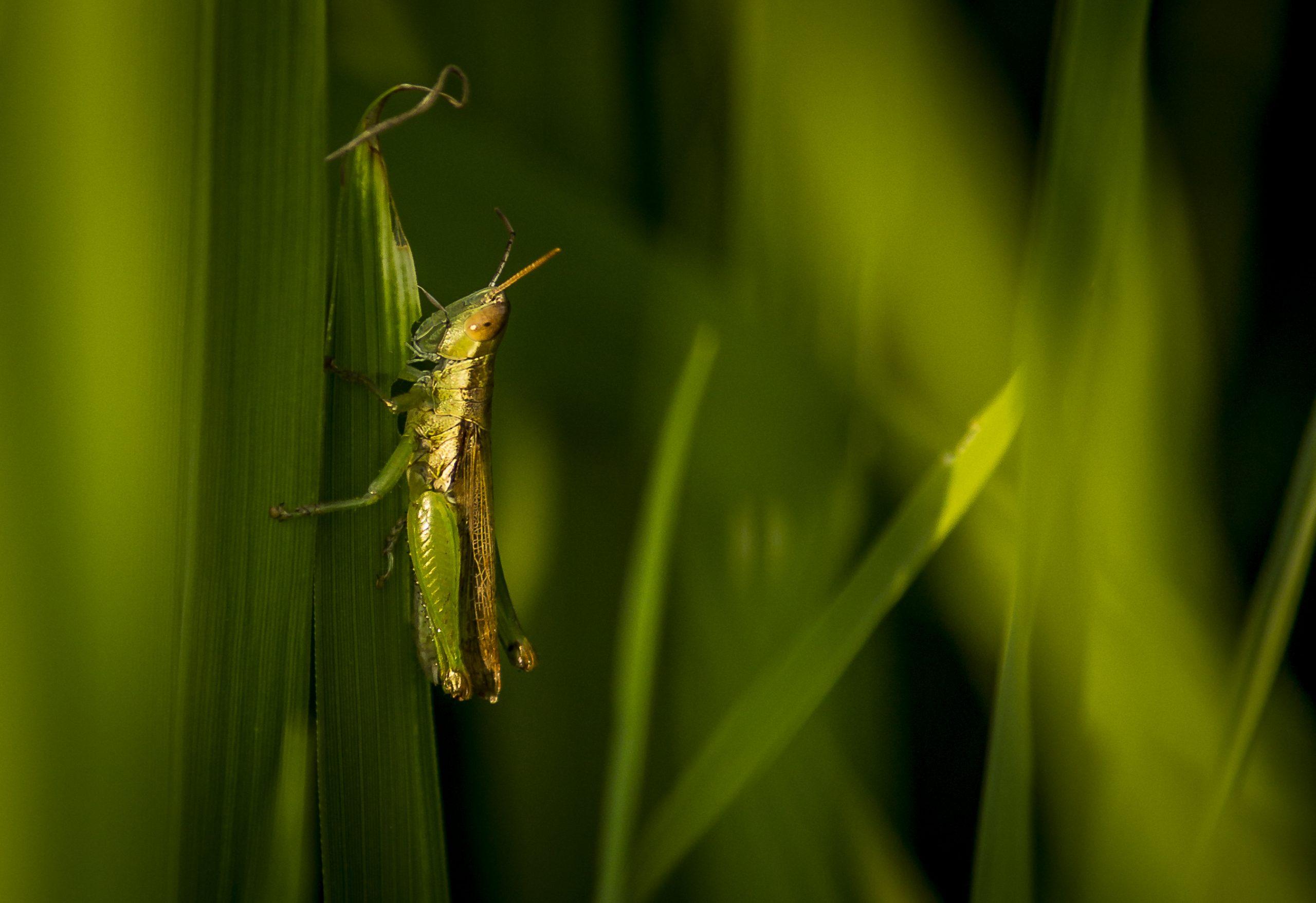 A Grasshopper on green leaf