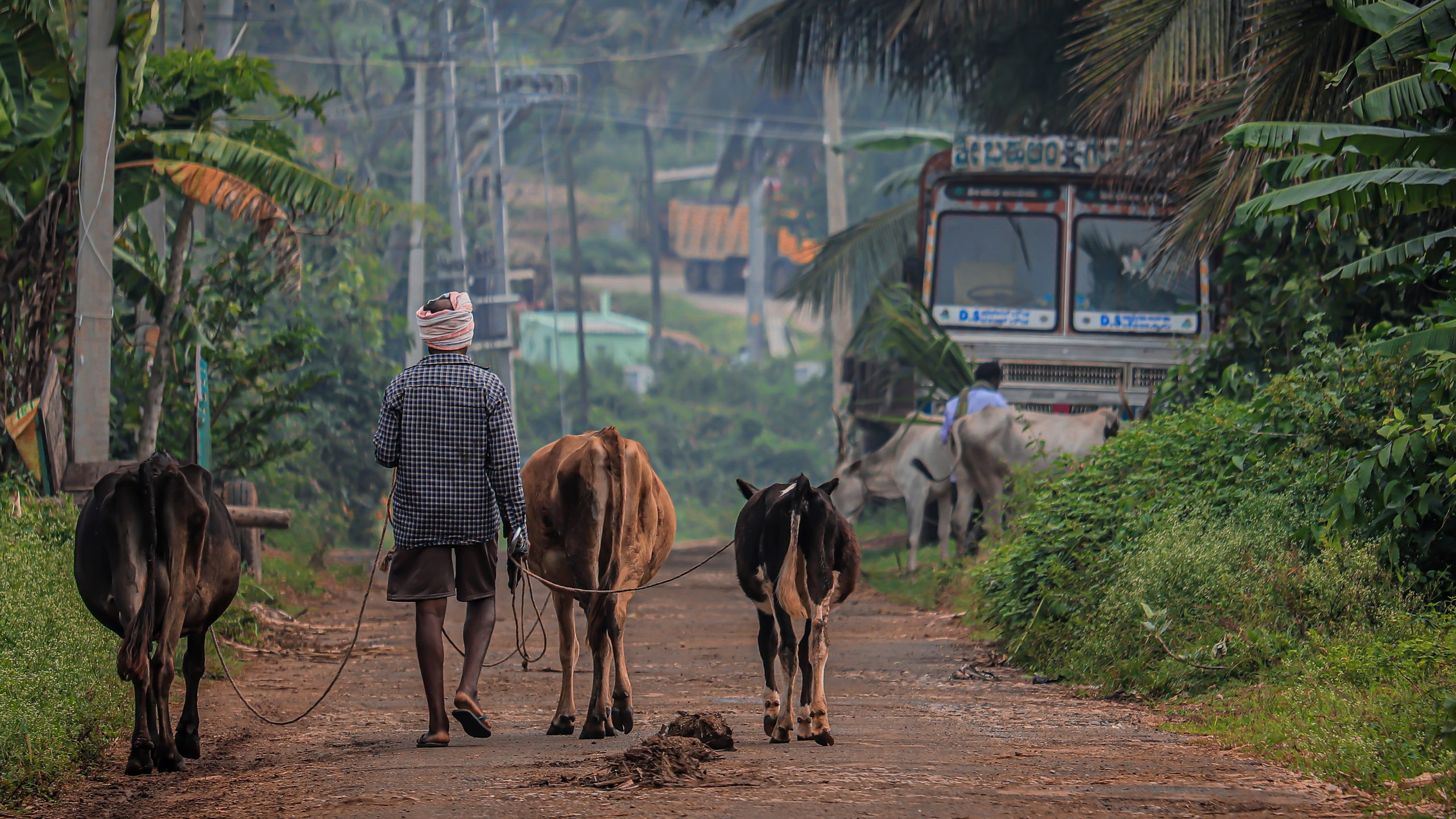Man walking his cows