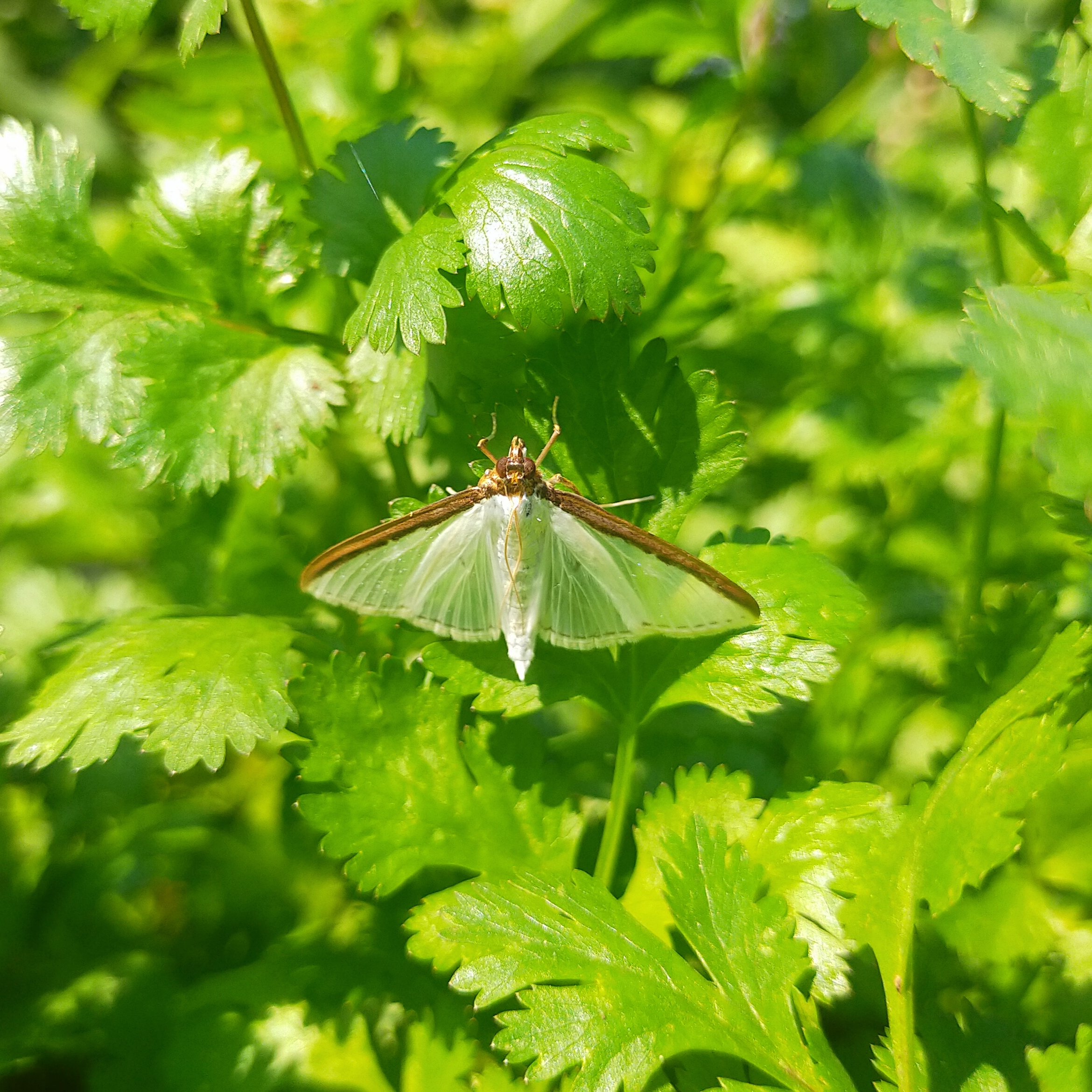 A butterfly on coriander leaves
