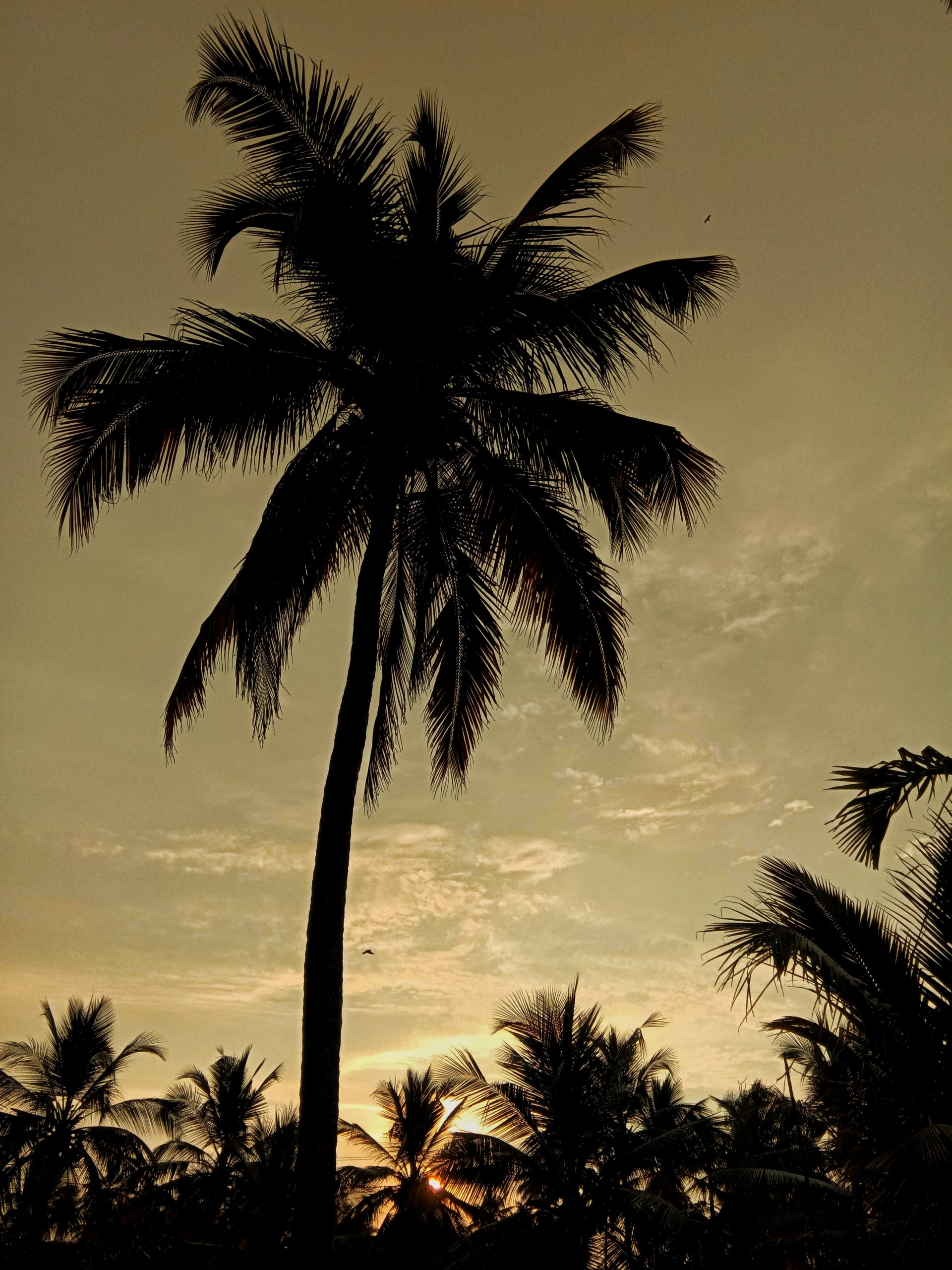 A coconut tree during evening