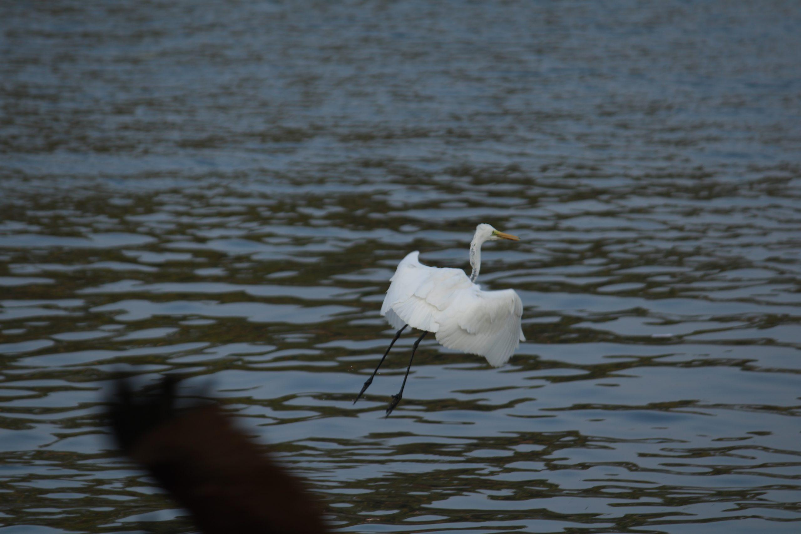 A crane bird flying over the river