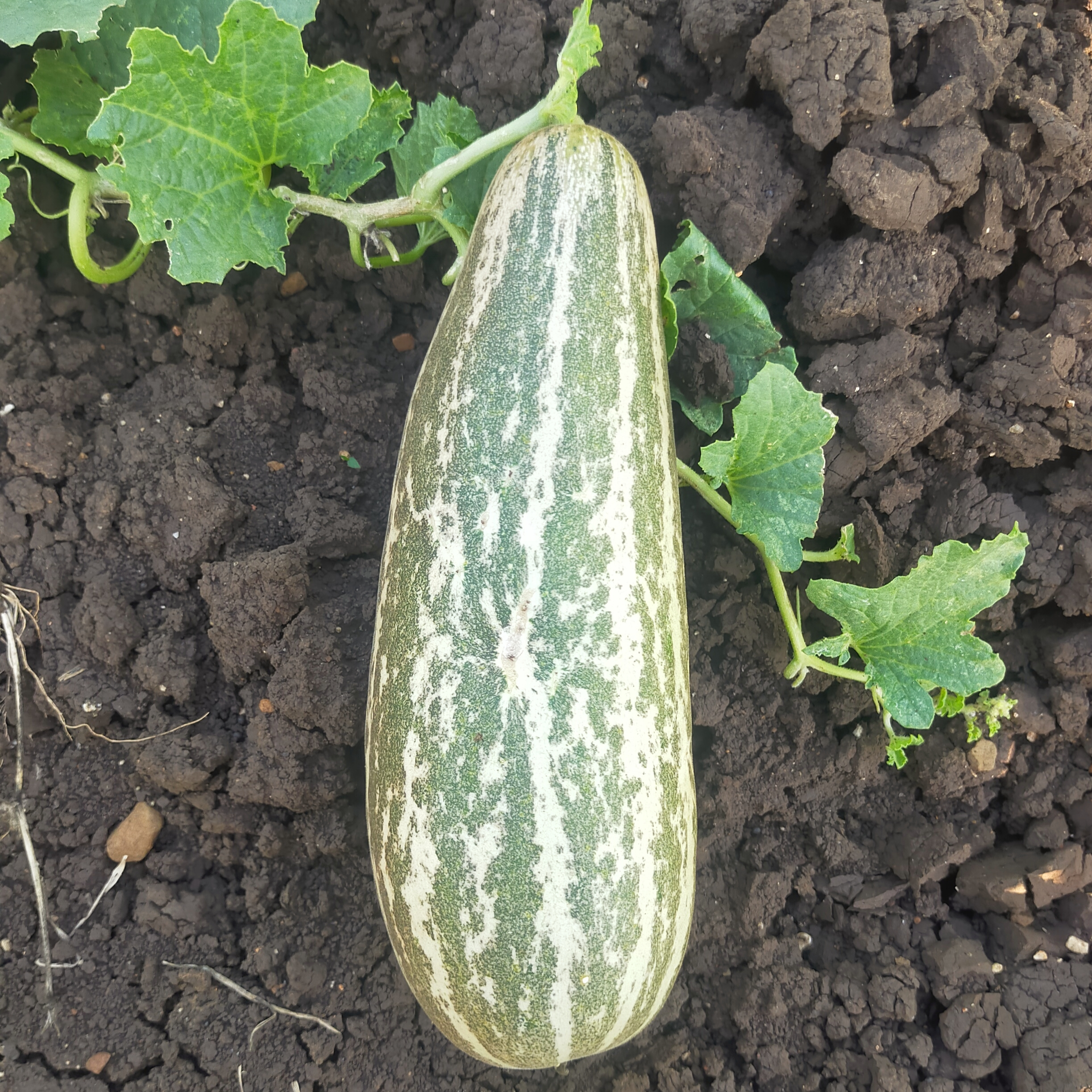 A cucumber with plant
