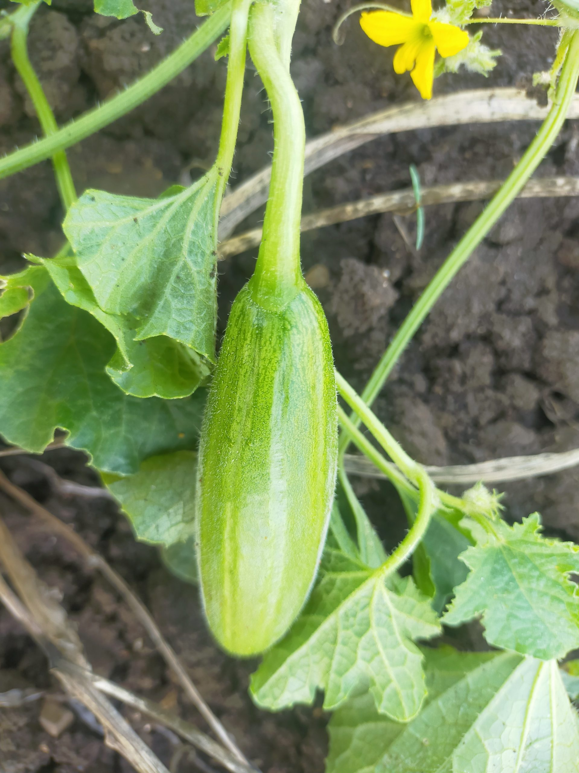 Cucumber with plant