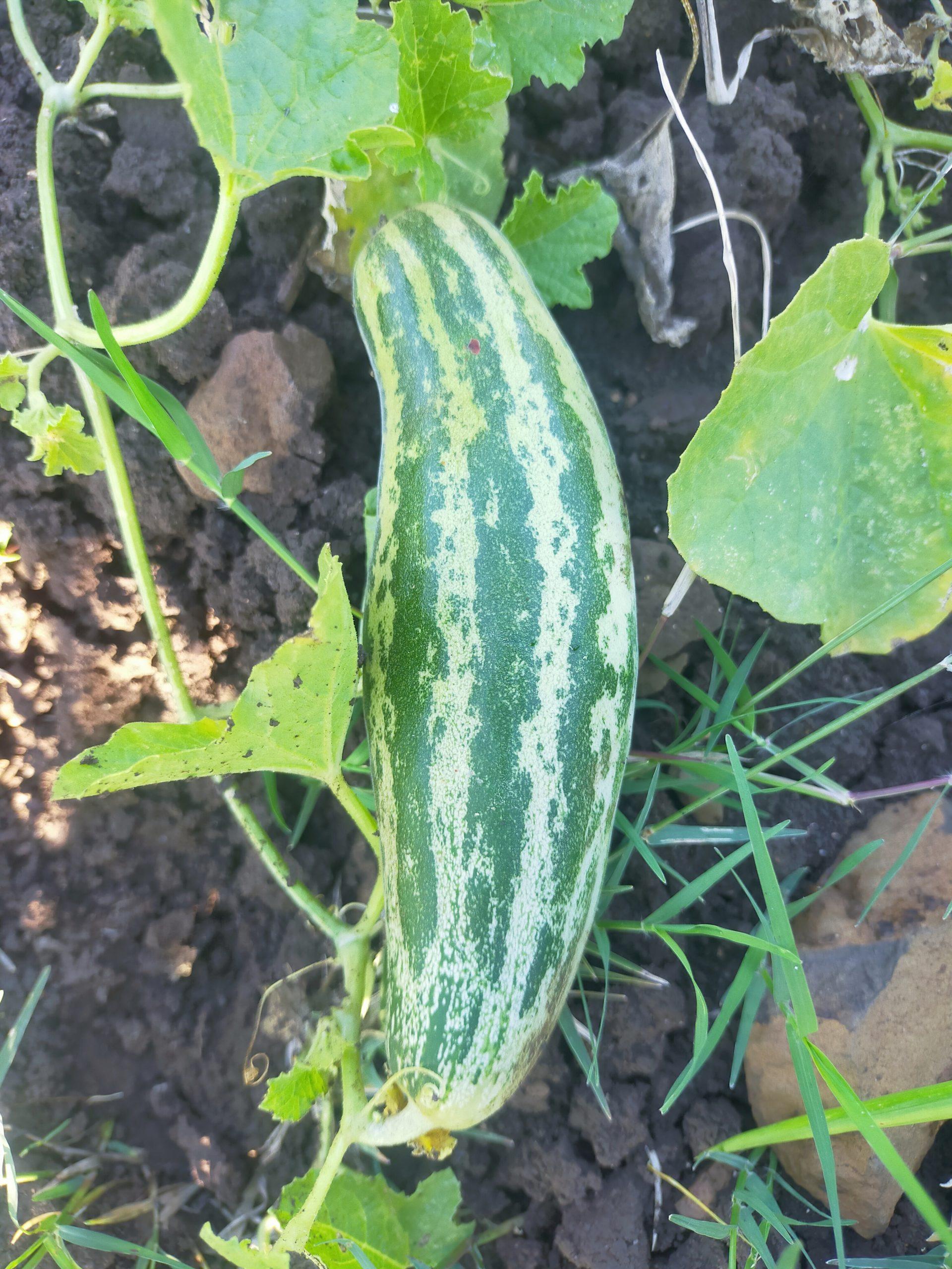 cucumber on plant