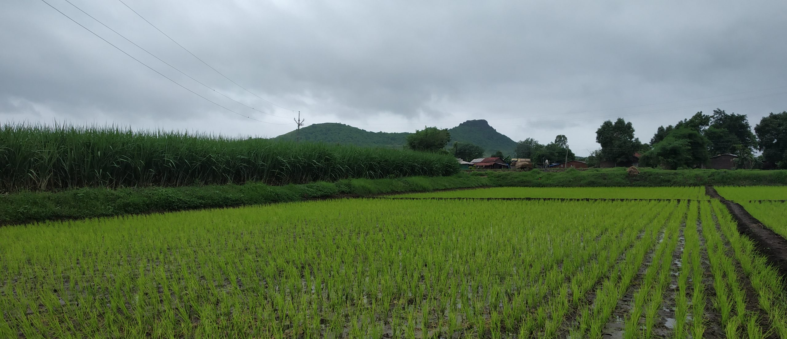 A cultivated paddy field