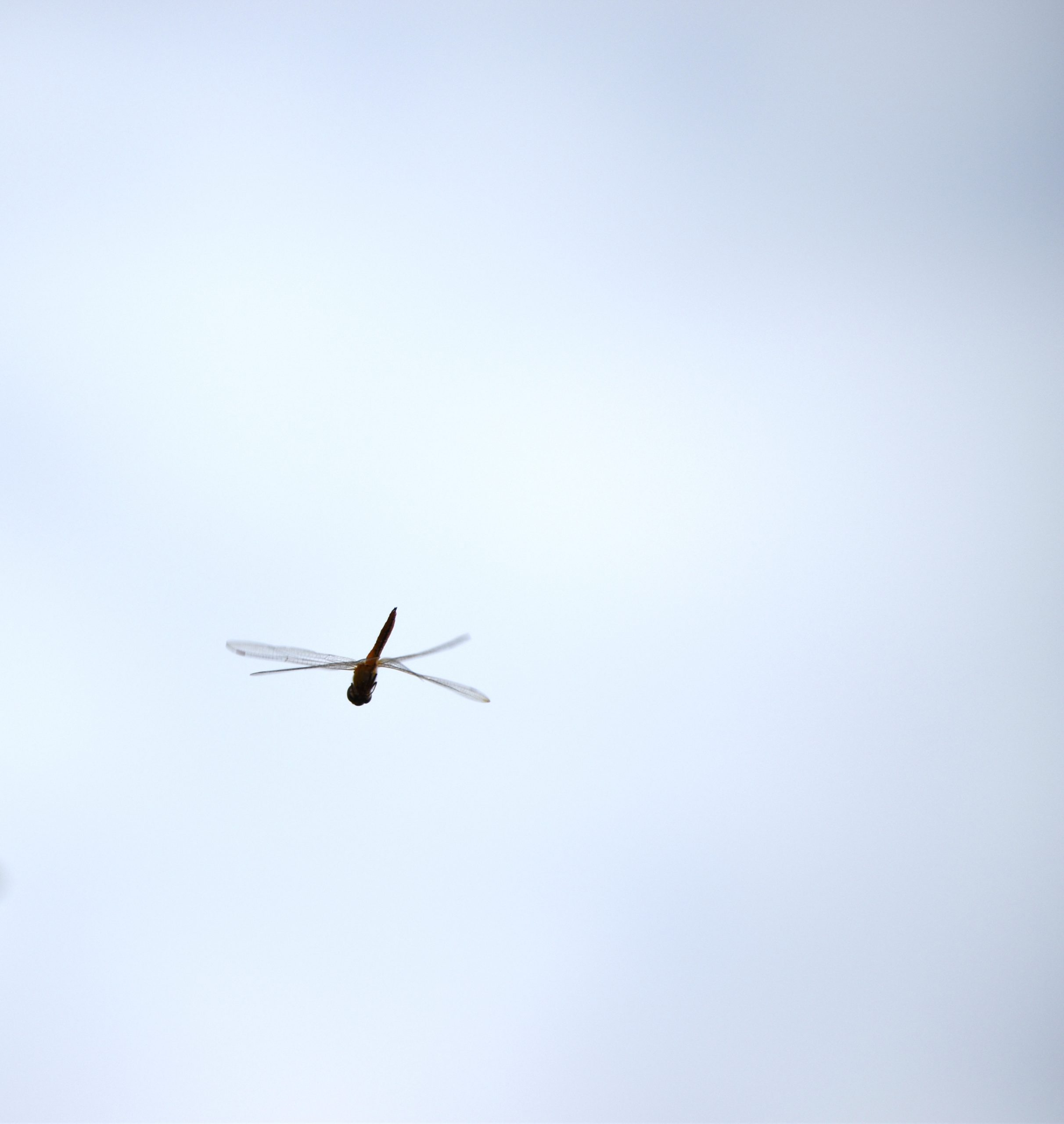 A dragonfly in air