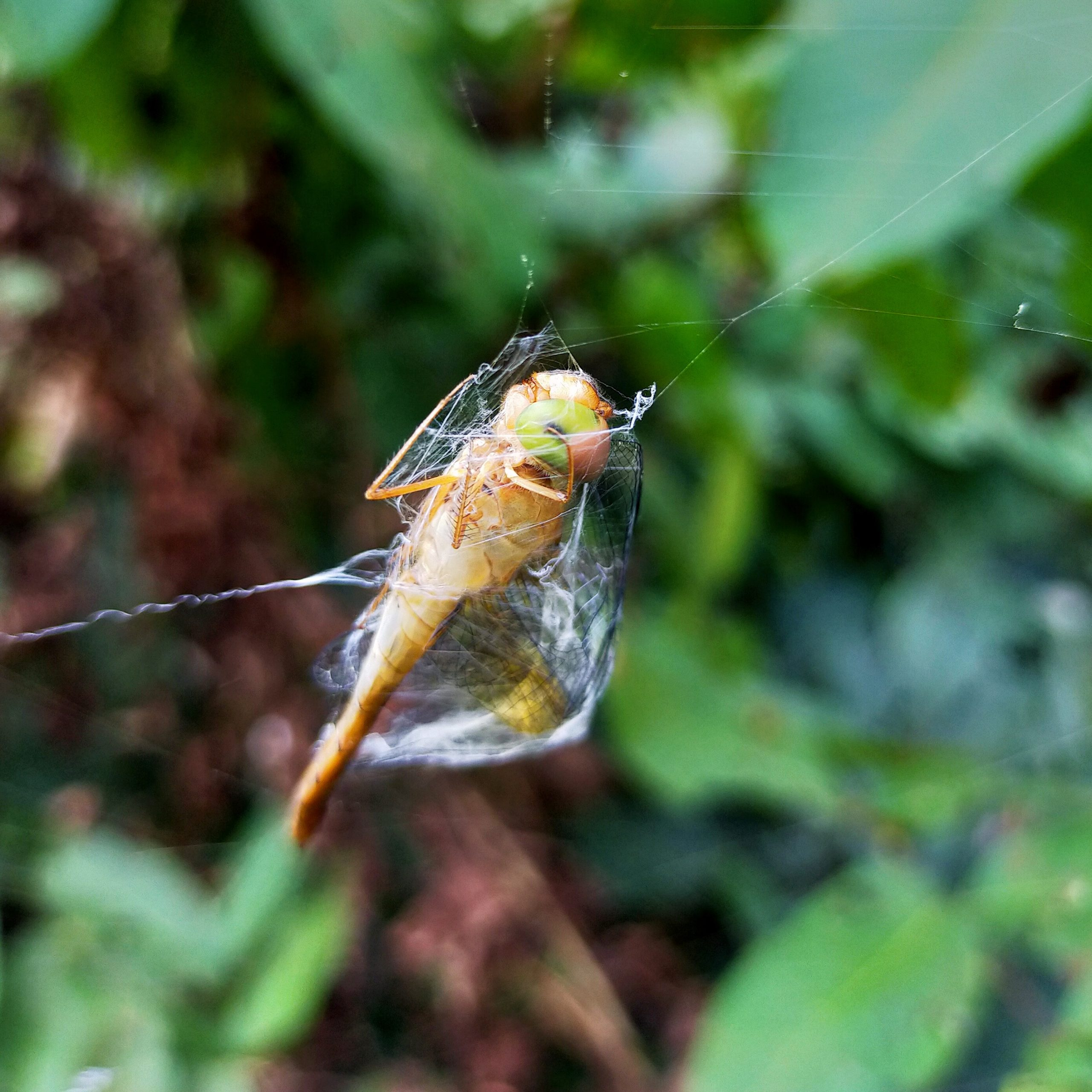 A dragonfly trapped in spider web