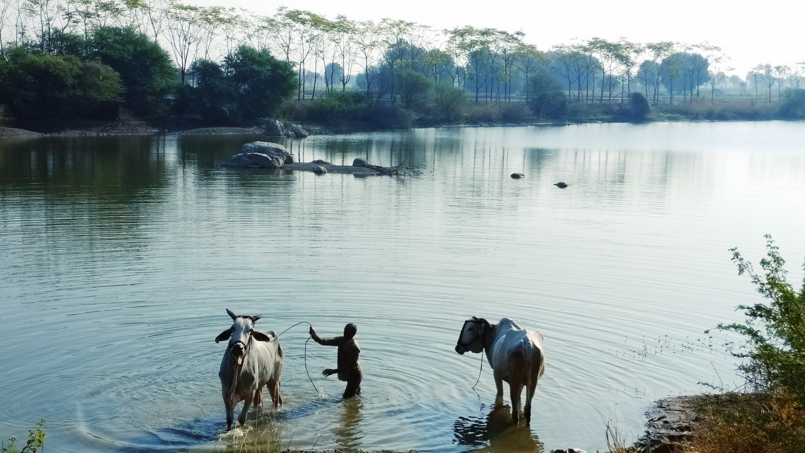 A farmer with his oxen in a lake
