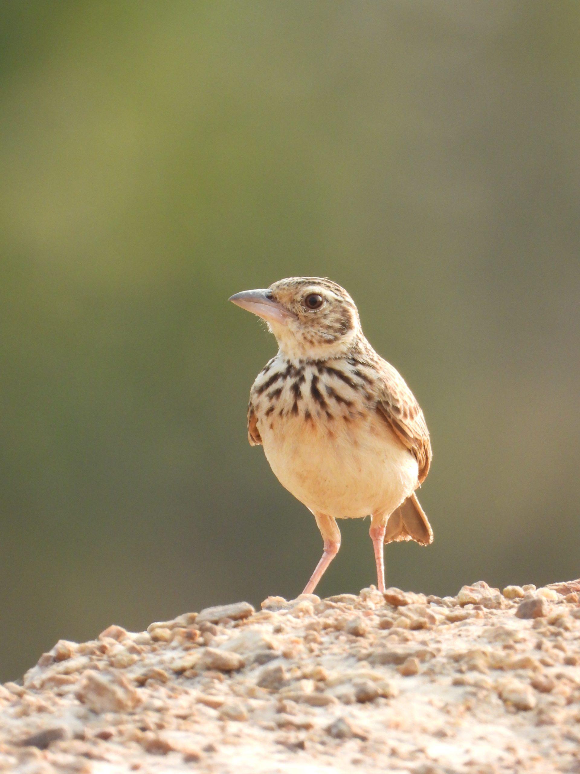 A field sparrow