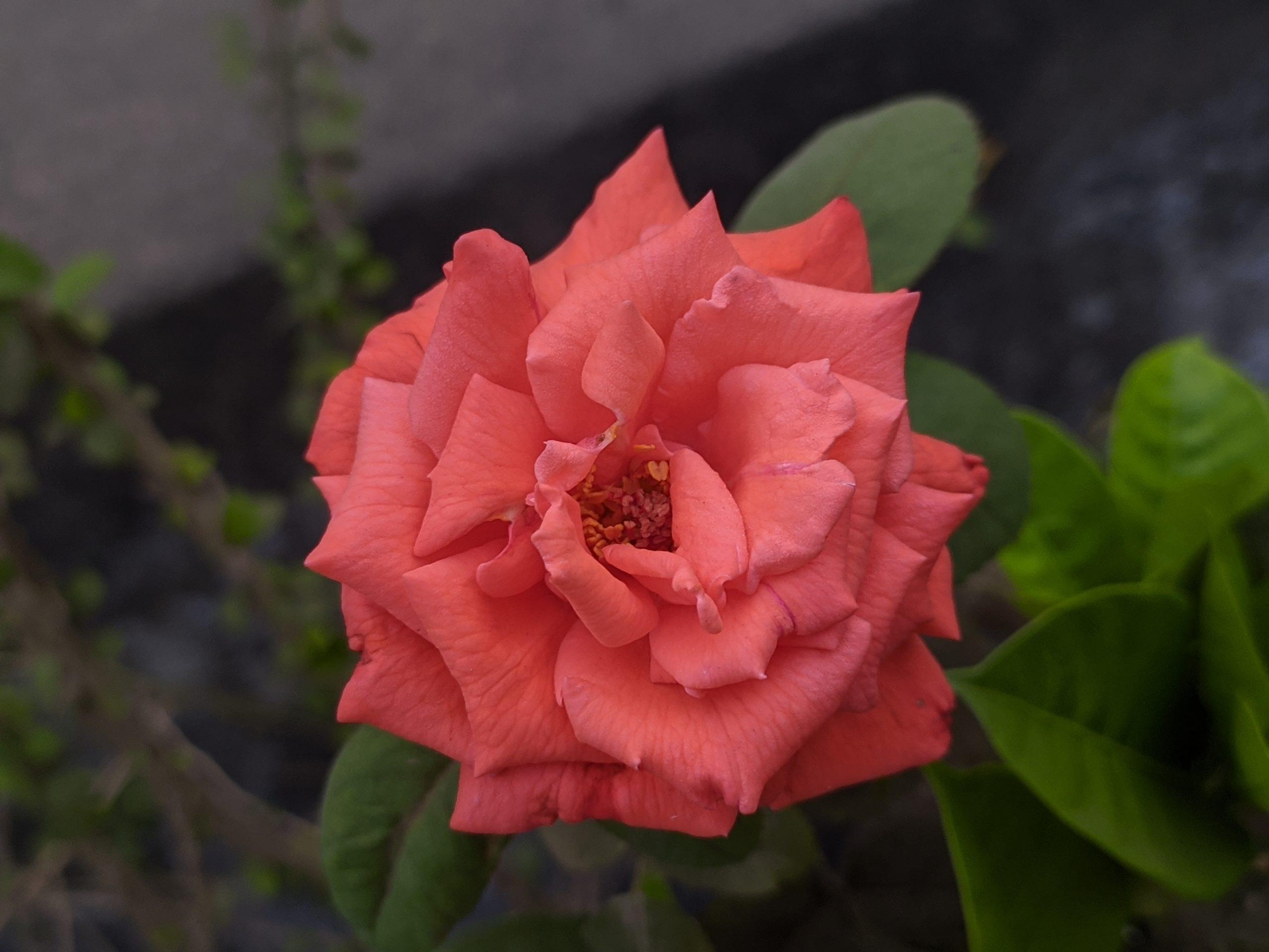 A fresh rose