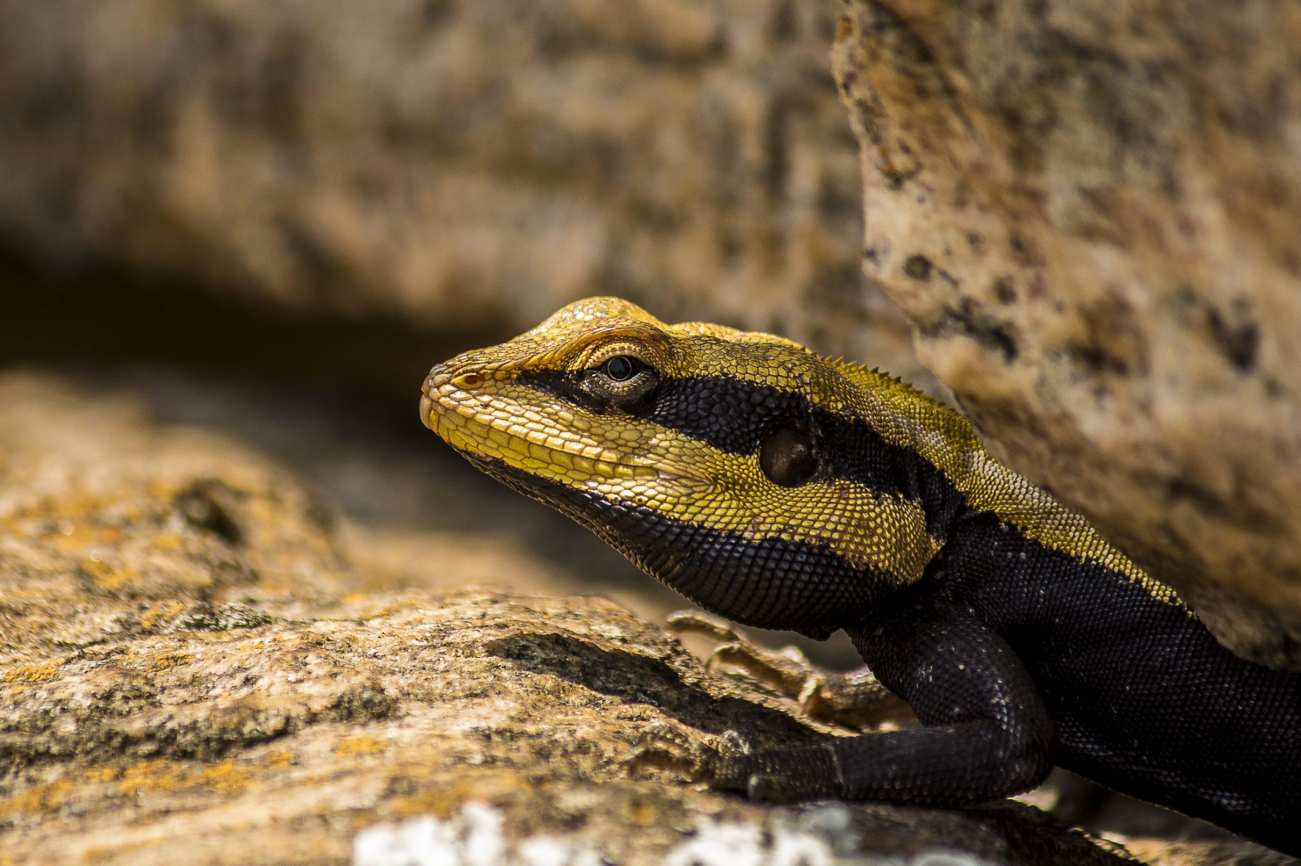 A garden lizard