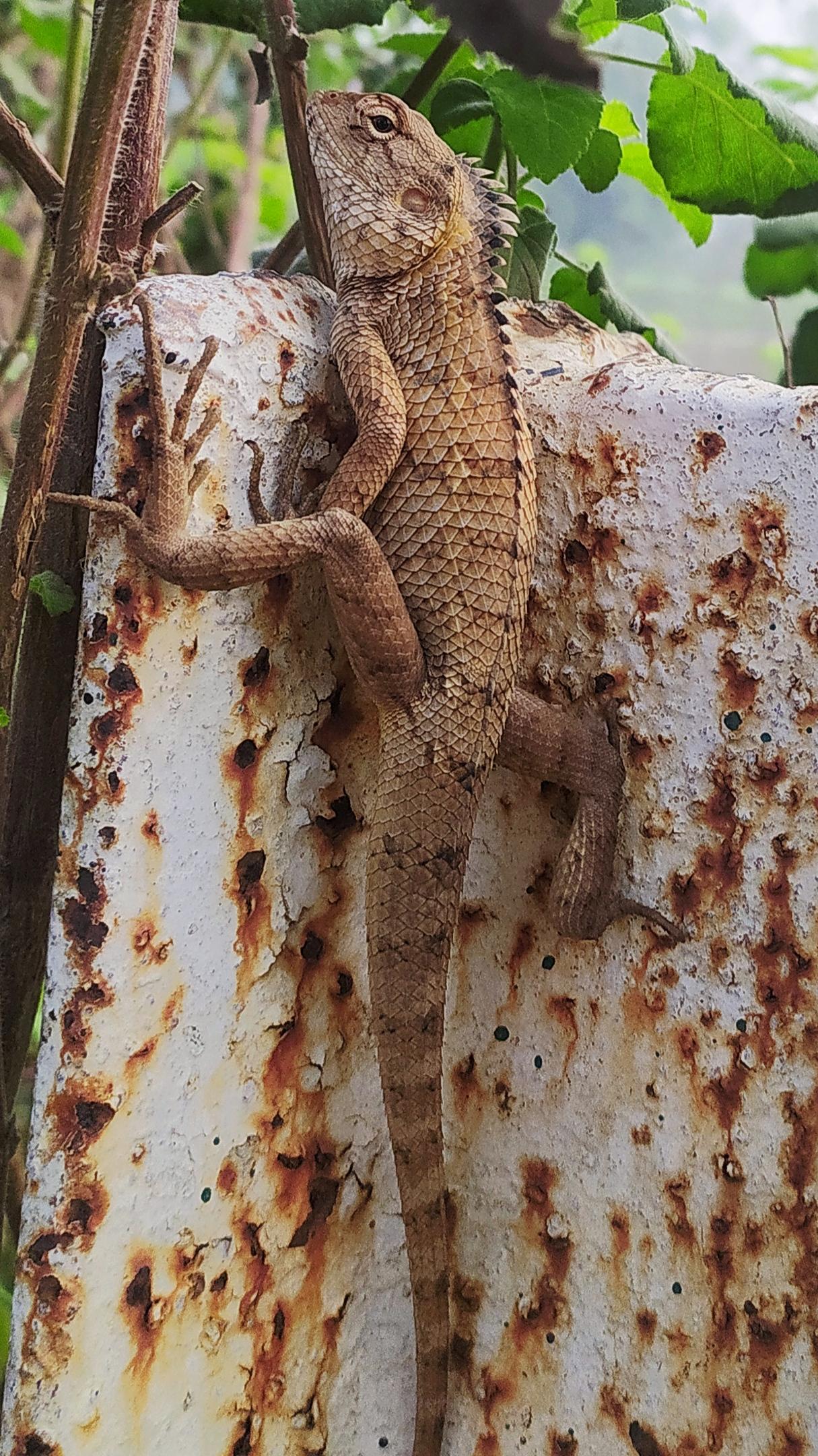 Garden lizard on wall