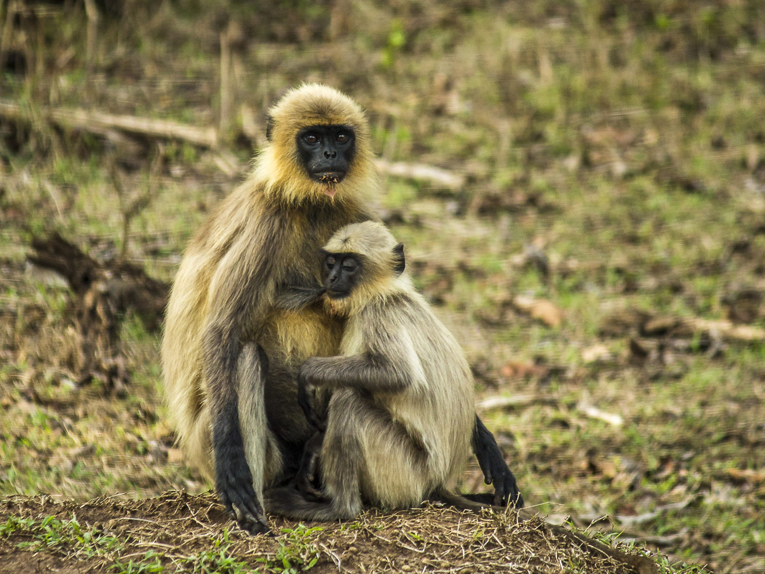 A gray langur with baby langur