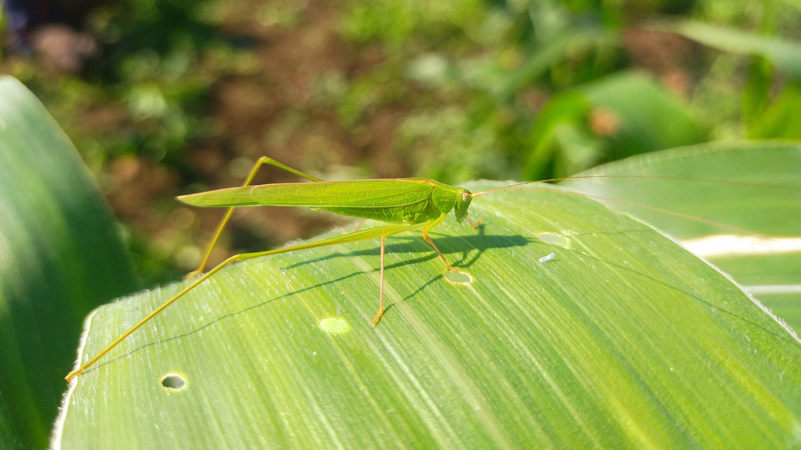 A green grasshopper on a leaf