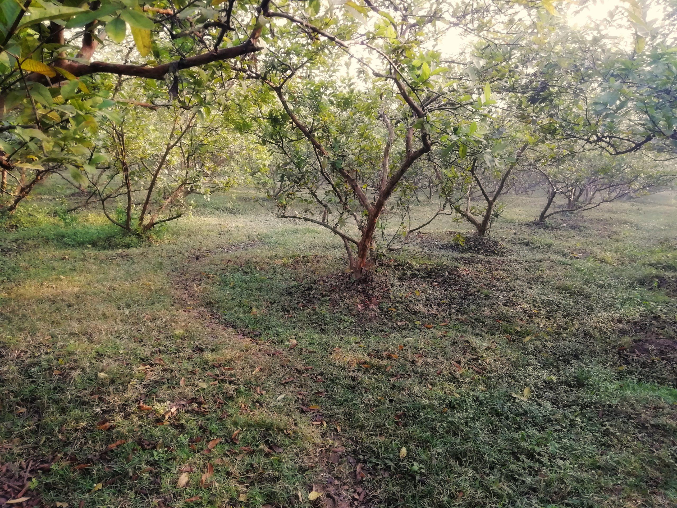 A guava plants farm