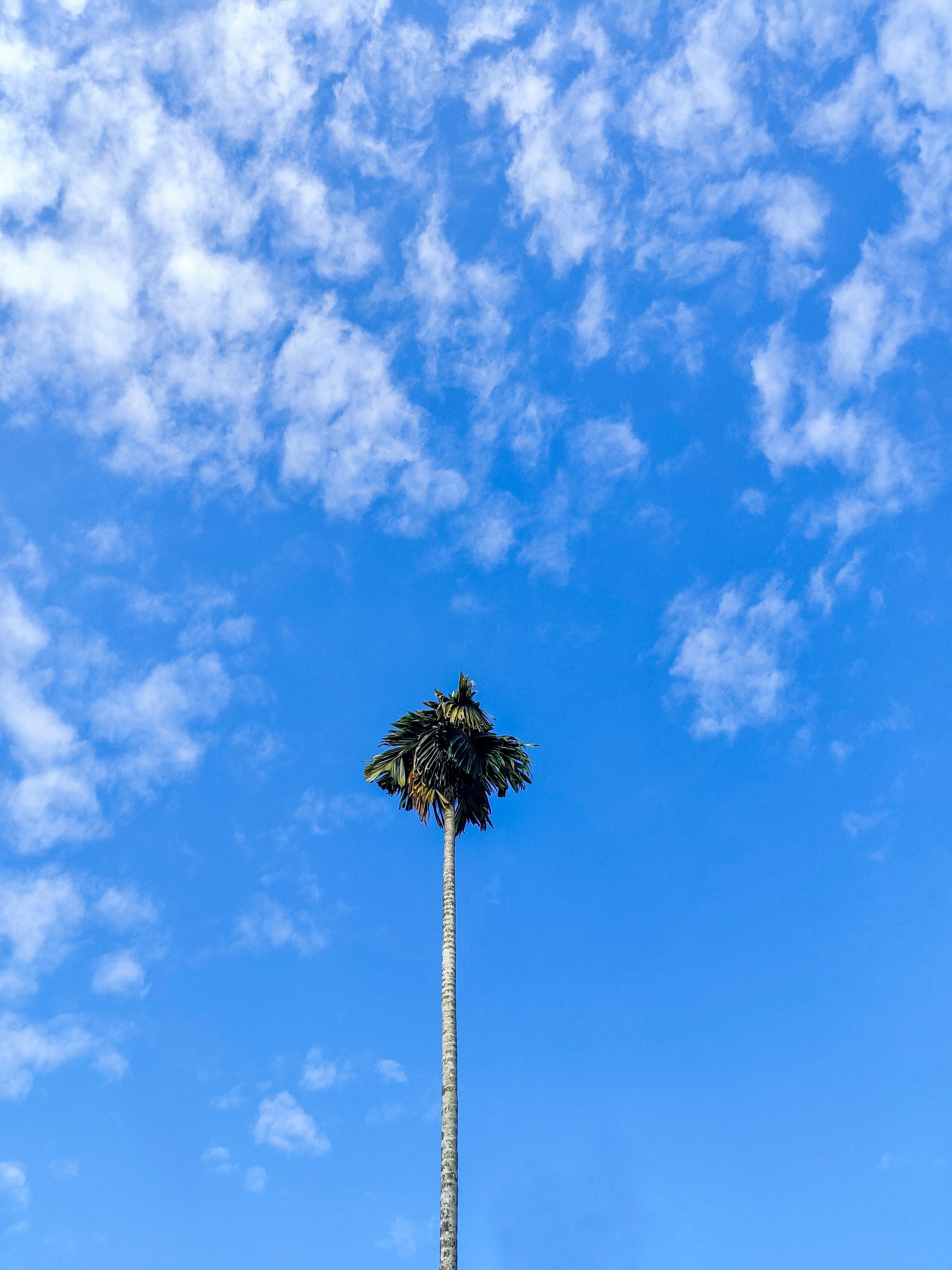 A high coconut tree