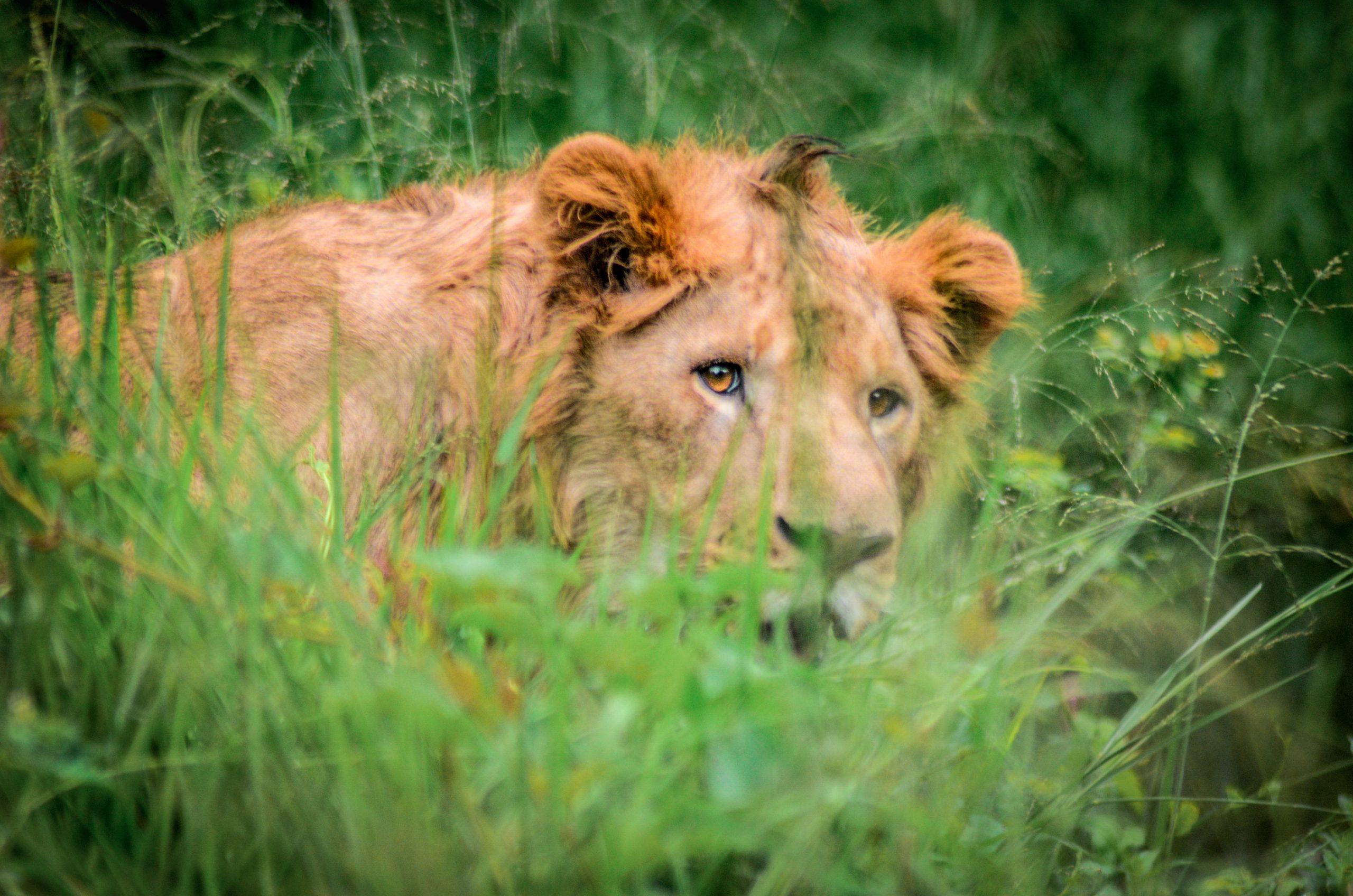 A lion in Bannerghatta Biological park