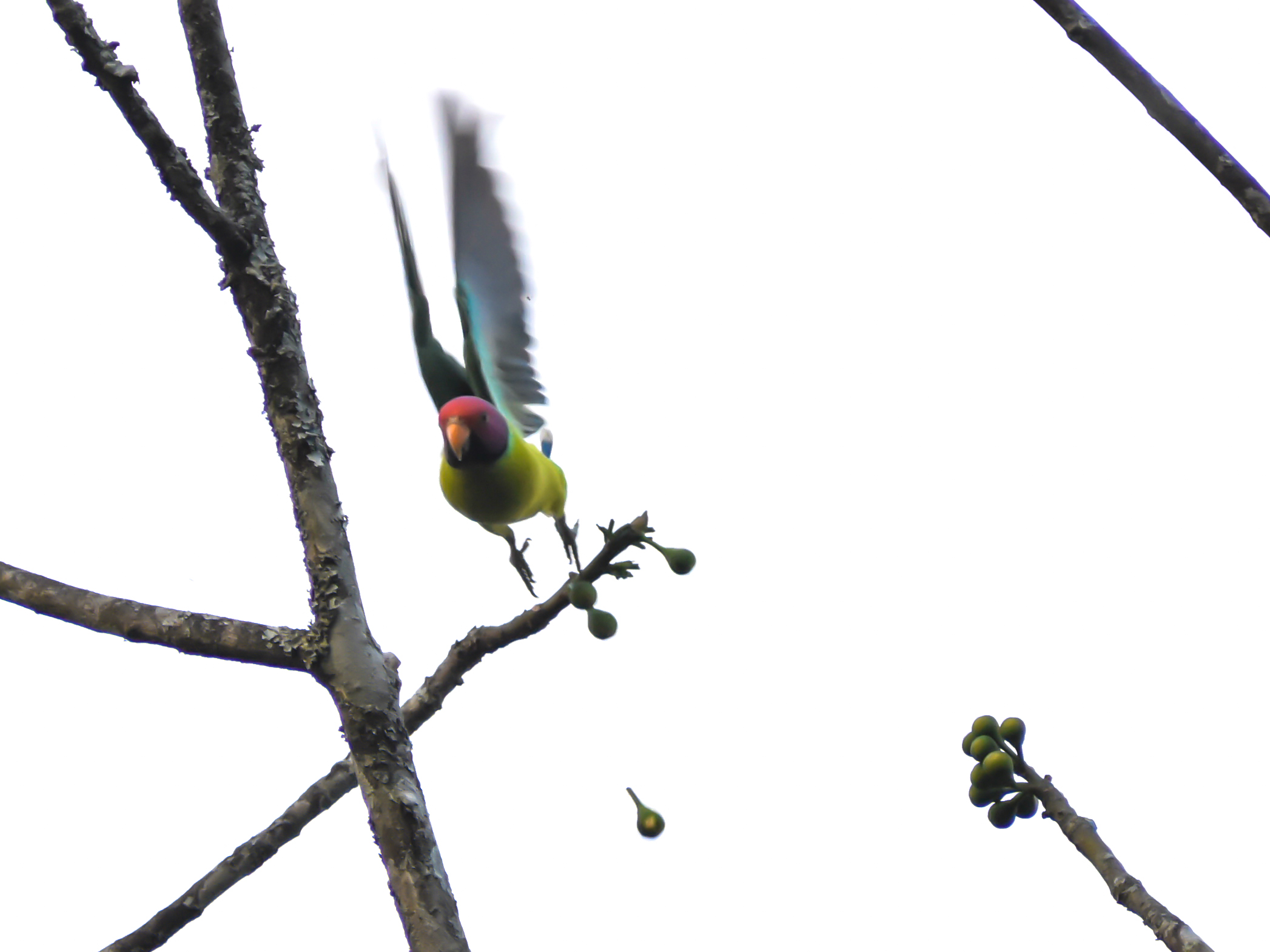A parrot jumping from a twig