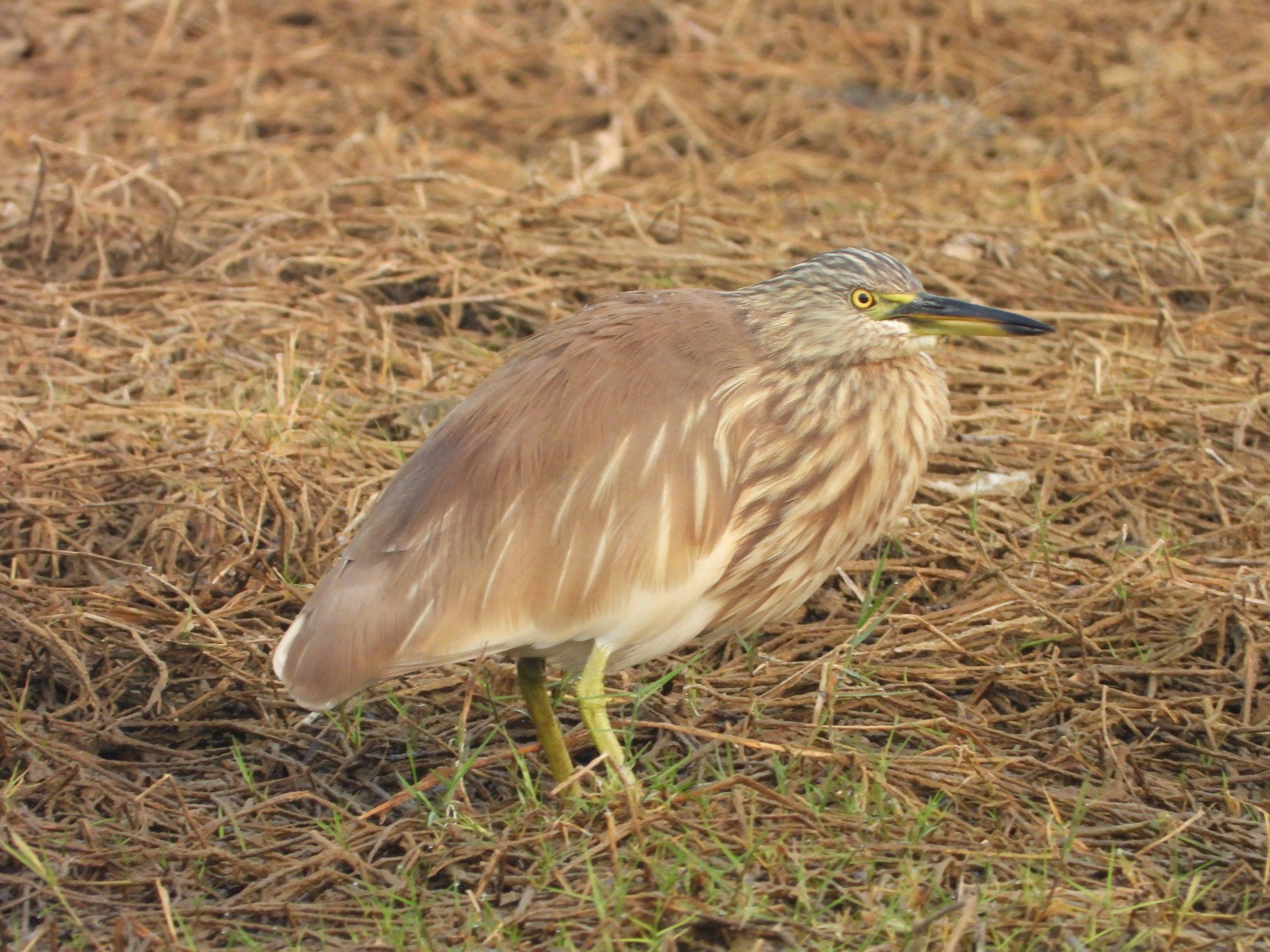 A pond heron