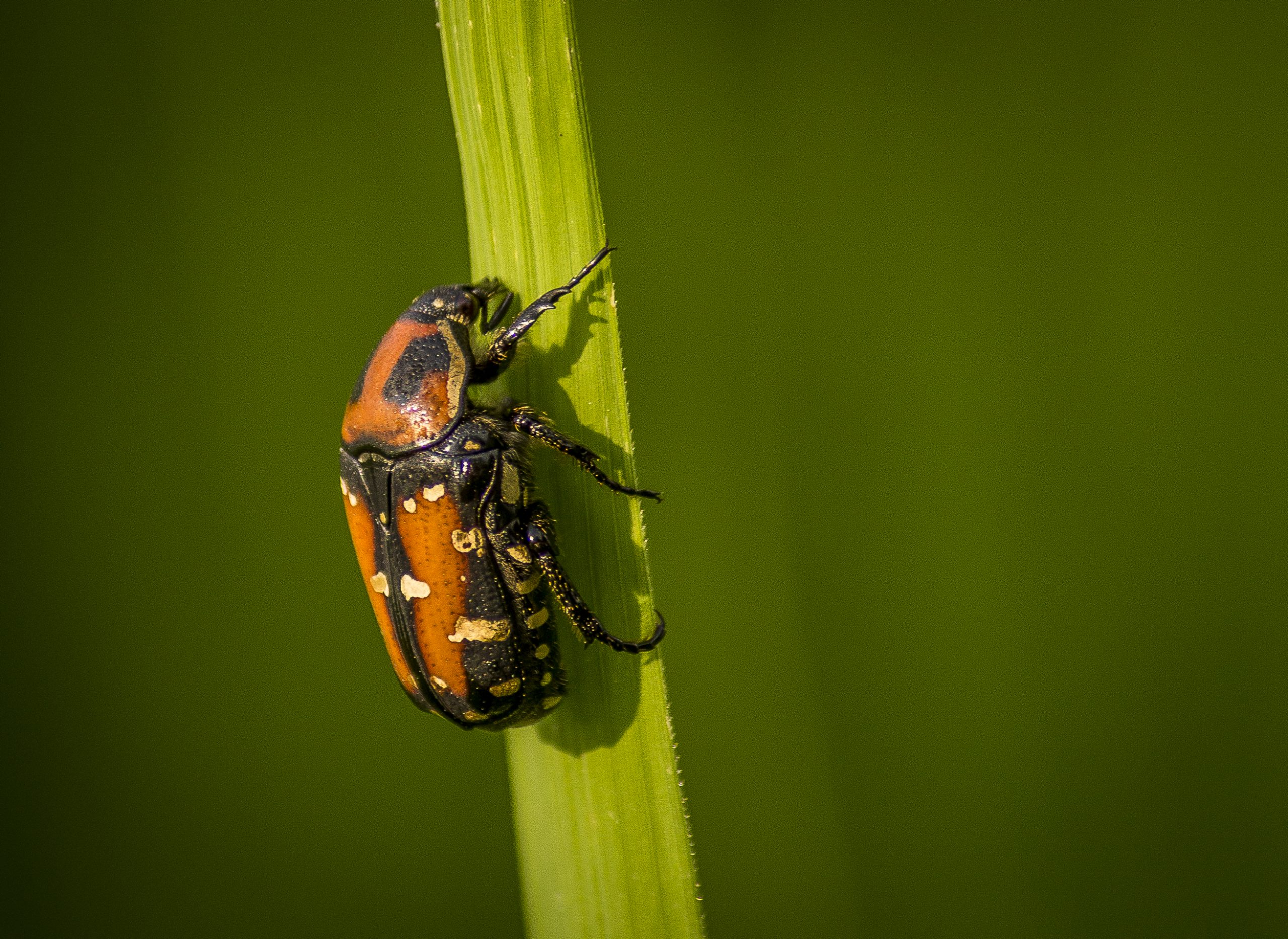 A shield Bug on a Twig