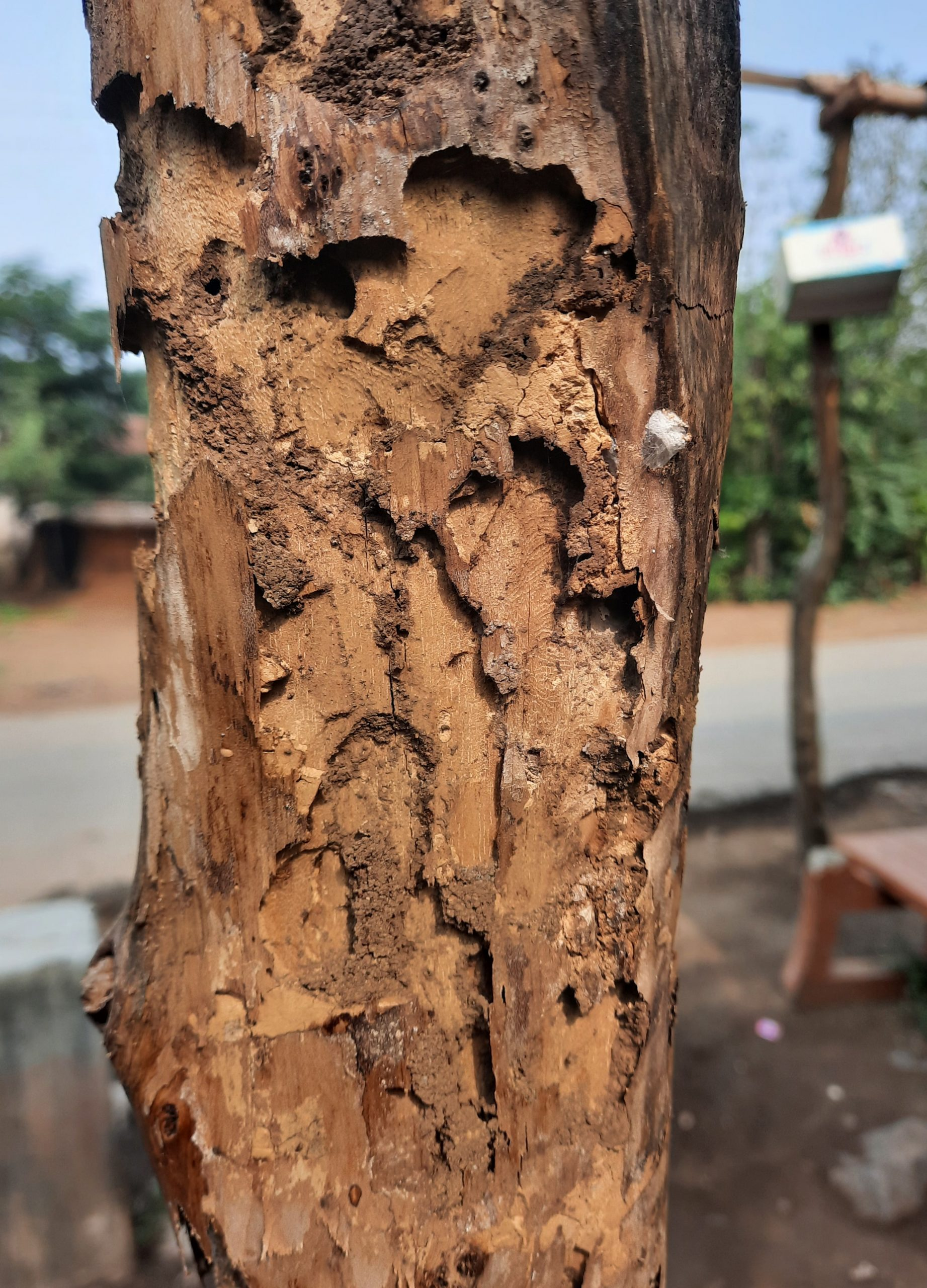A tree trunk eaten boy insect