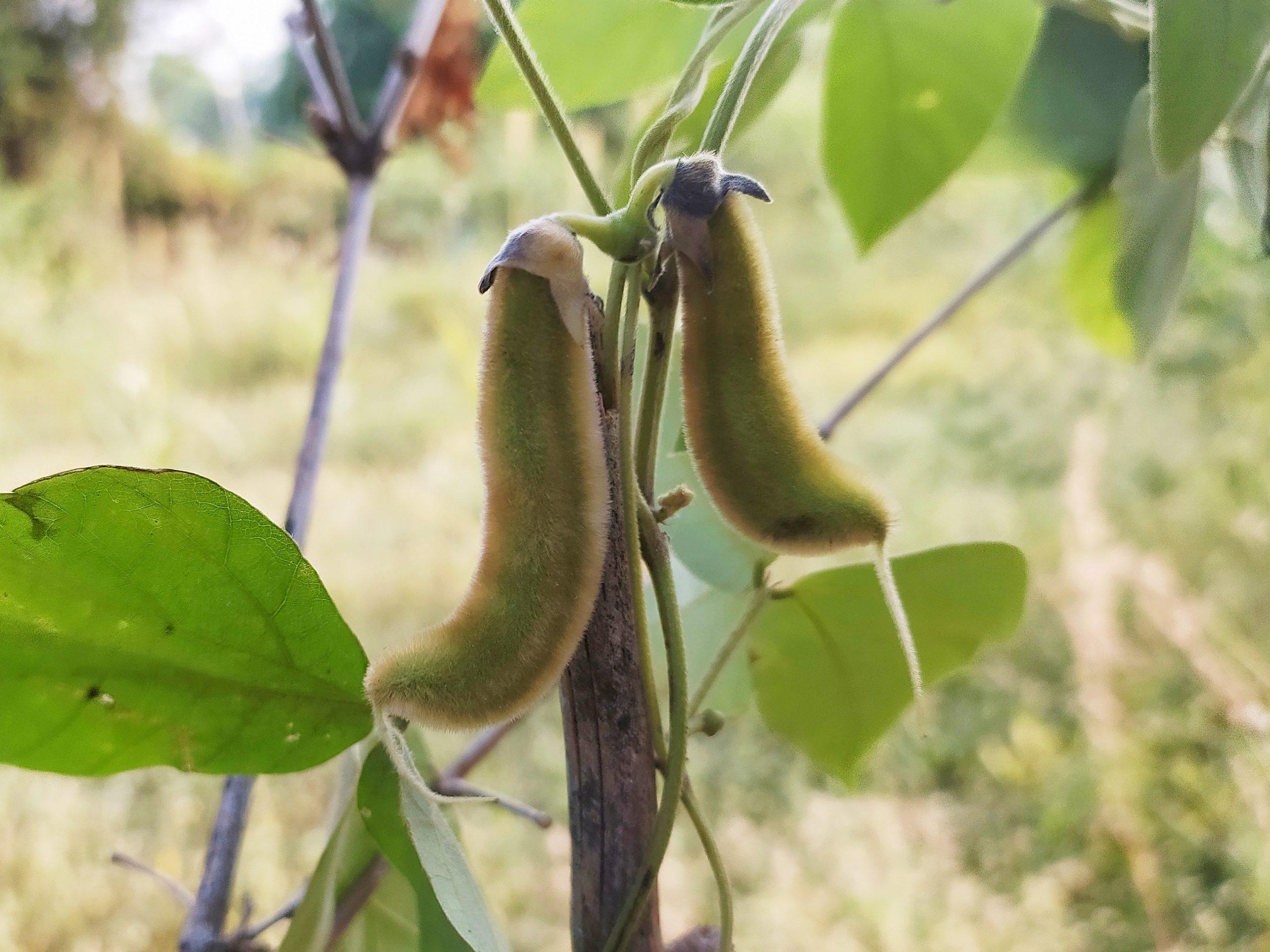 A velvet bean