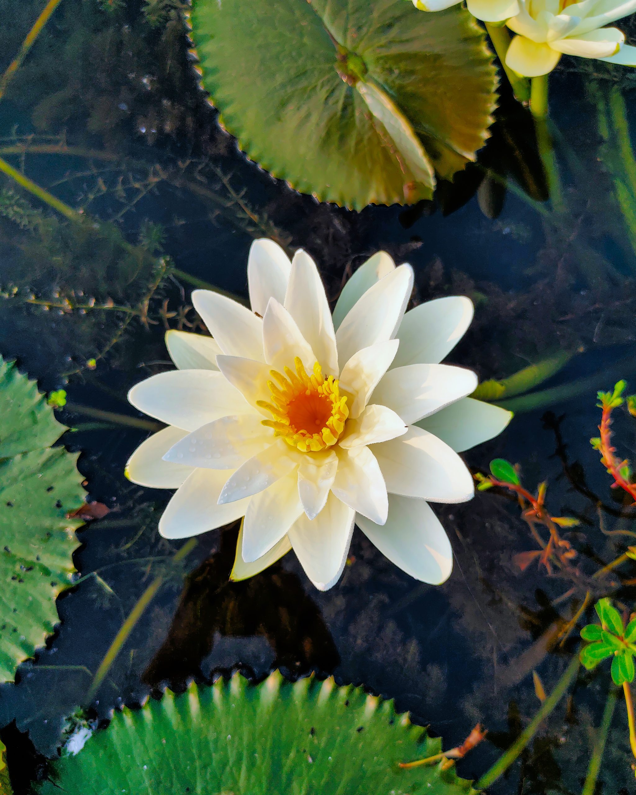 A water lily flower