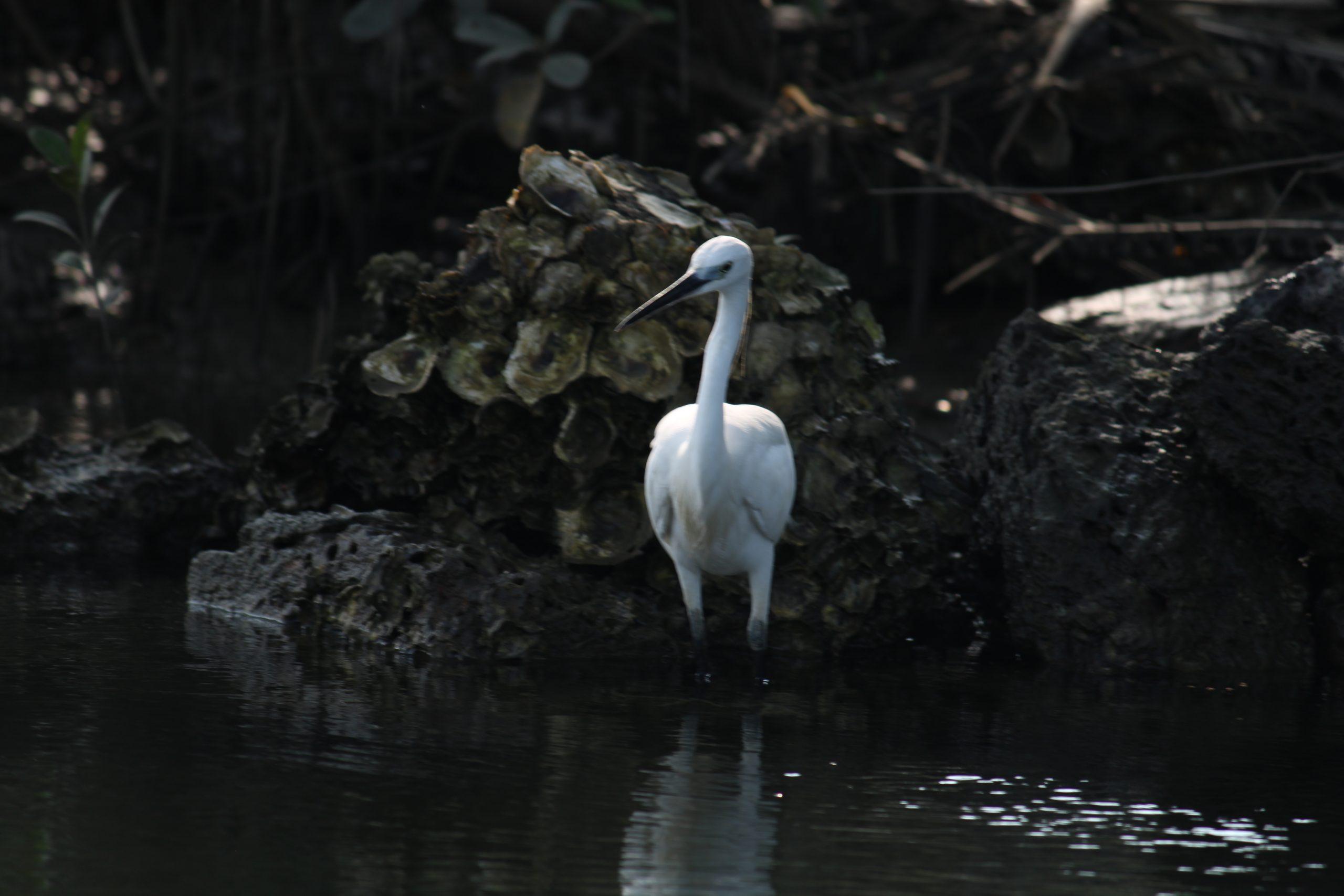 A white crane bird in the river
