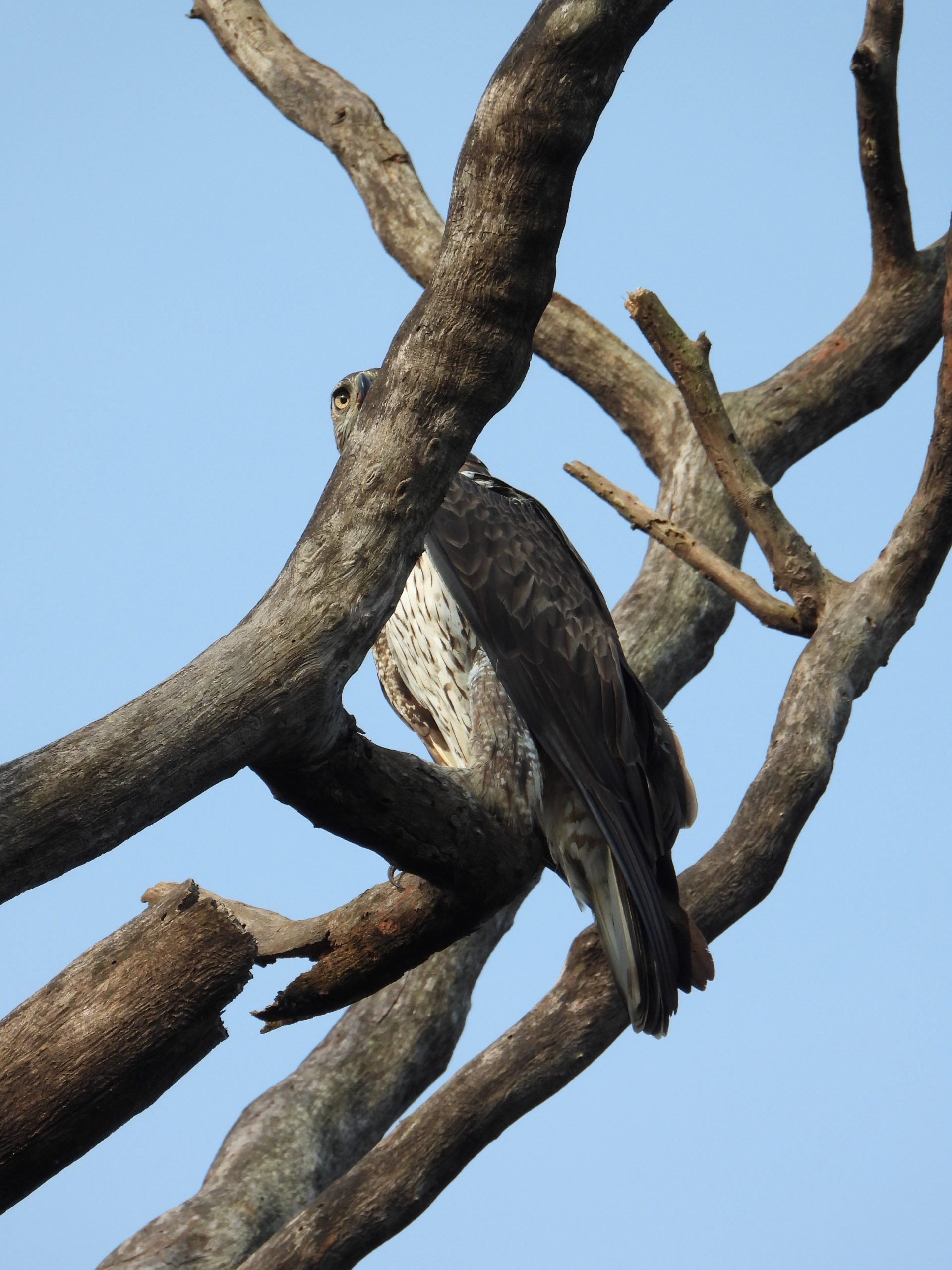 An eagle on a dry tree