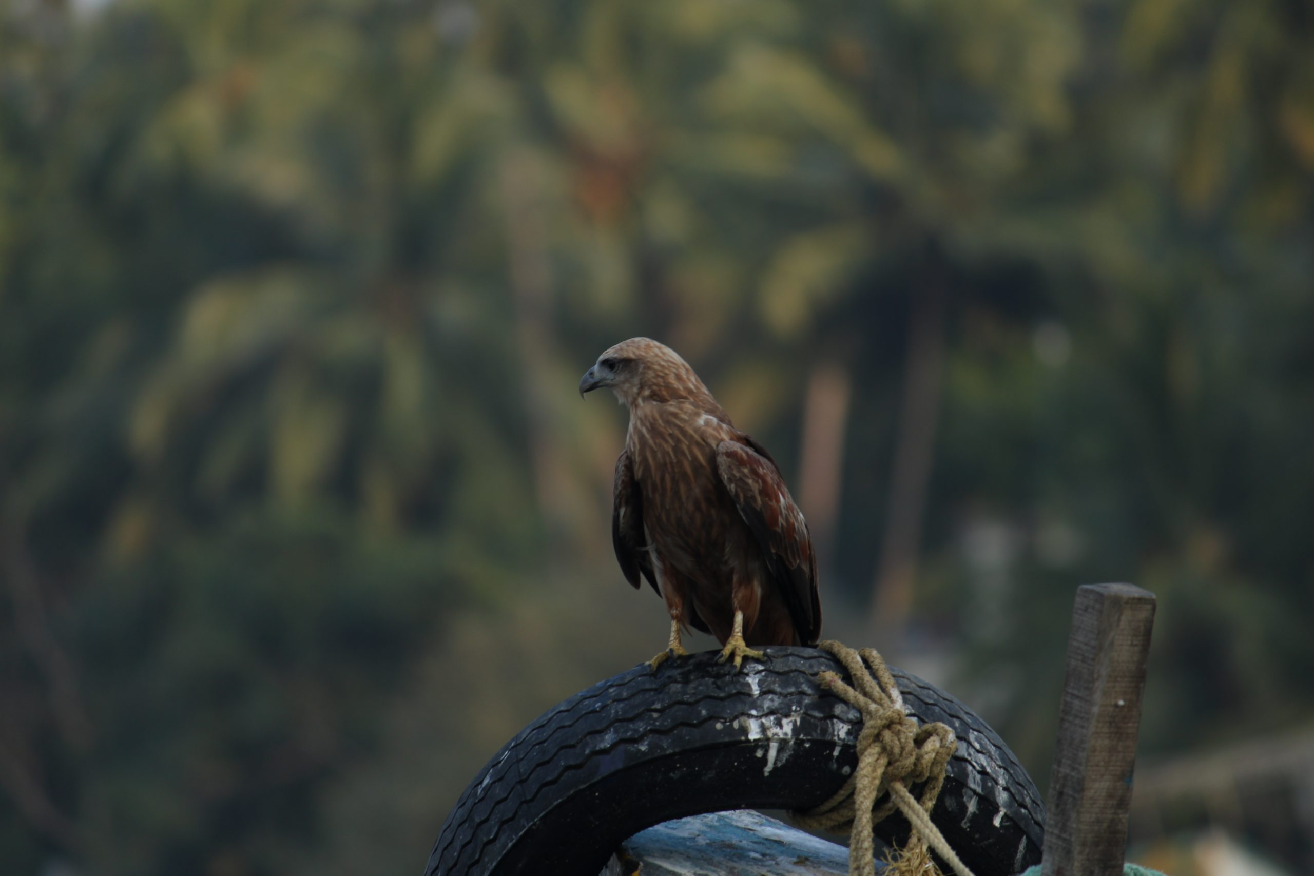 An eagle sitting on tire