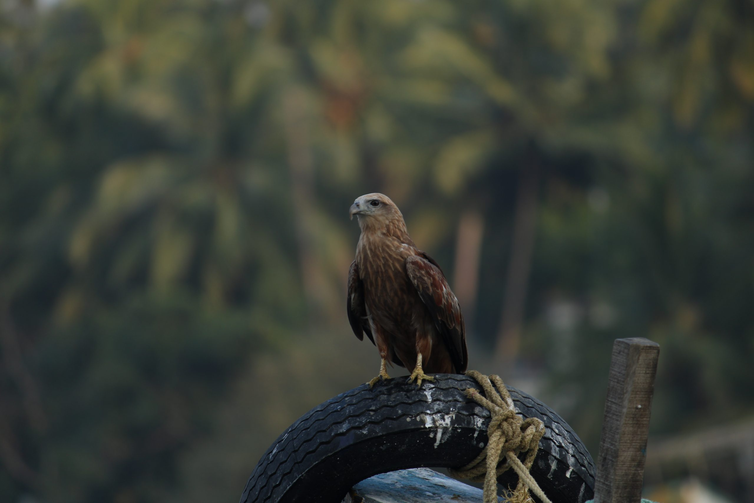 An eagle sitting on tyre