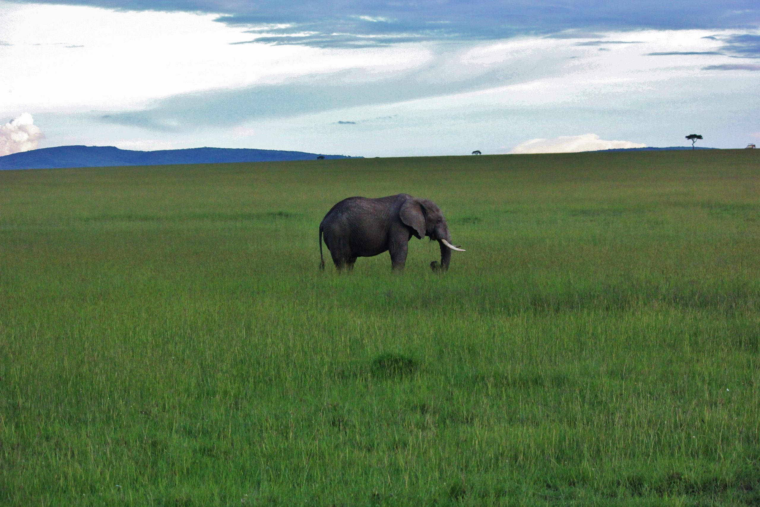 An elephant in pasture in Masai Mara