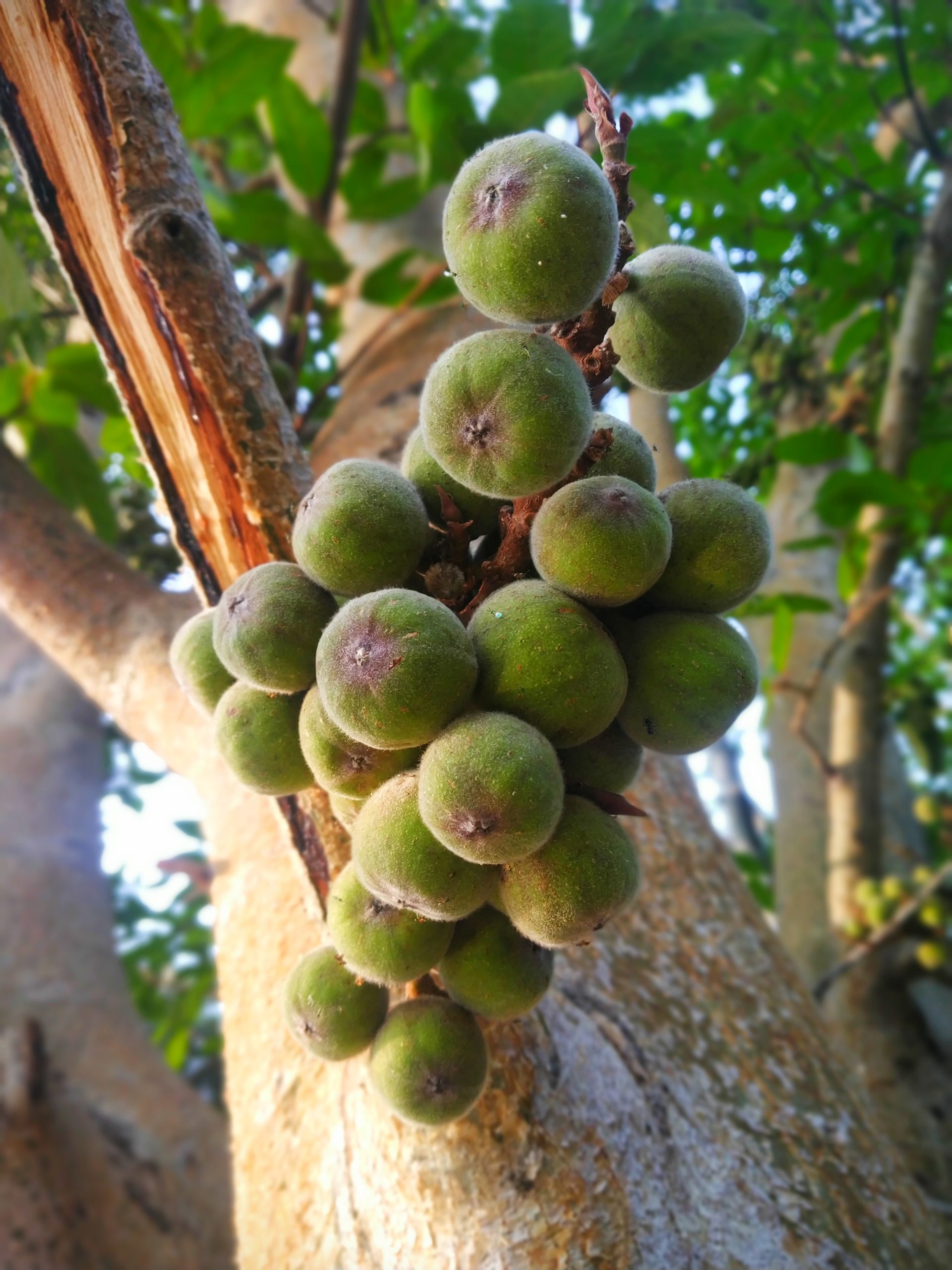 Fig fruit tree