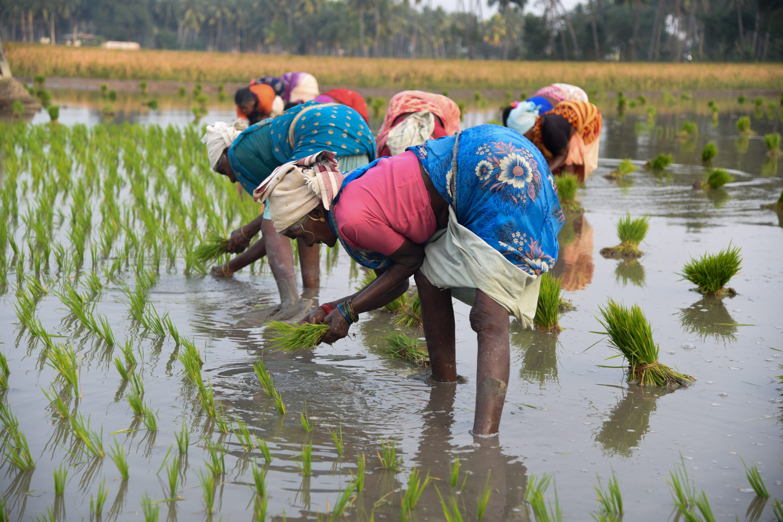 Farmers planting rice plants in a field