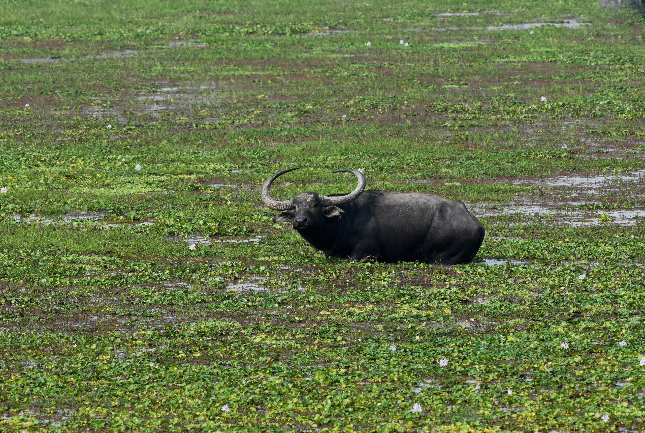 Asiatic Buffalo in a pond