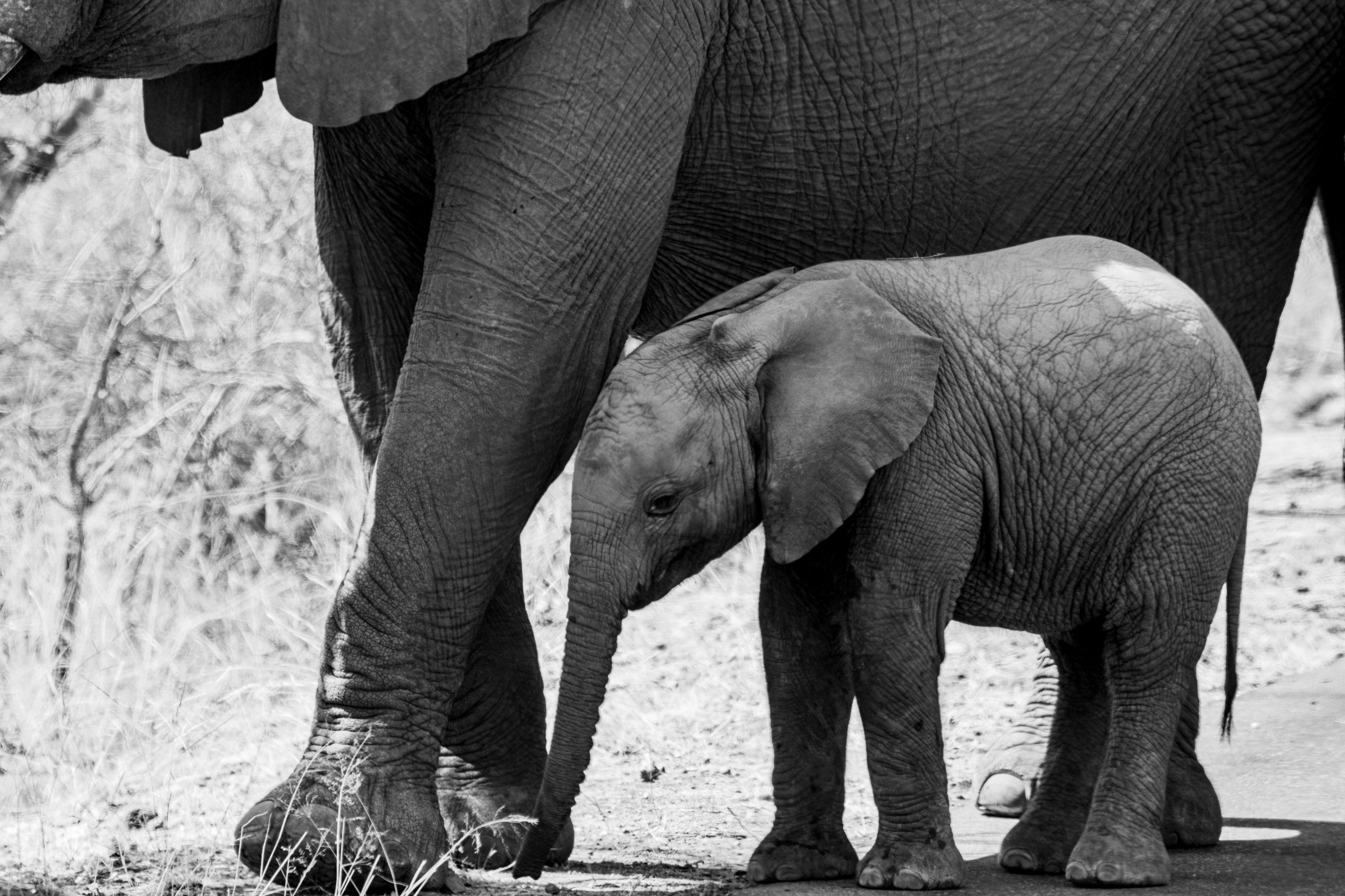 Baby Elephant with mother elephant