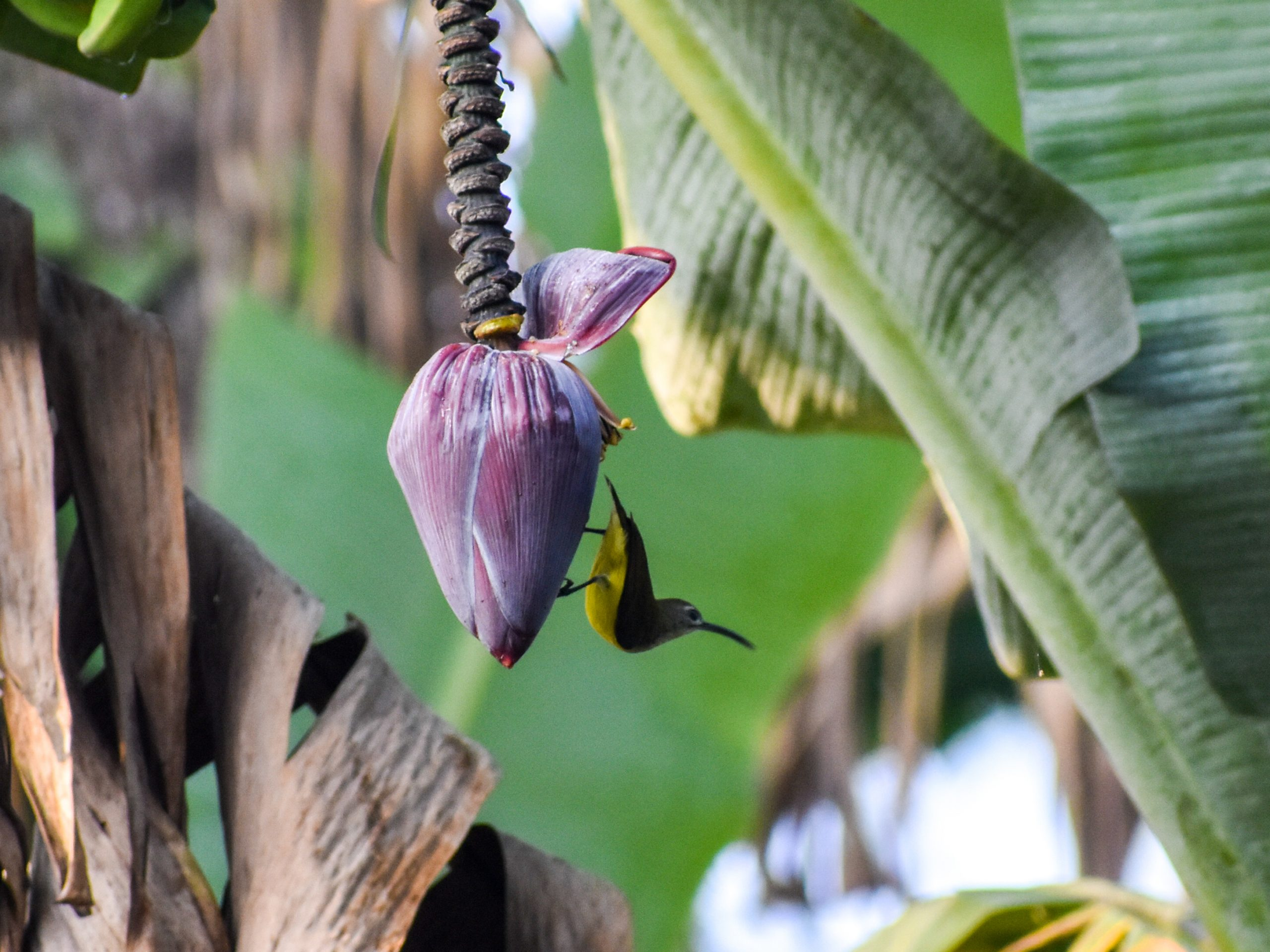 Banana flower hanging