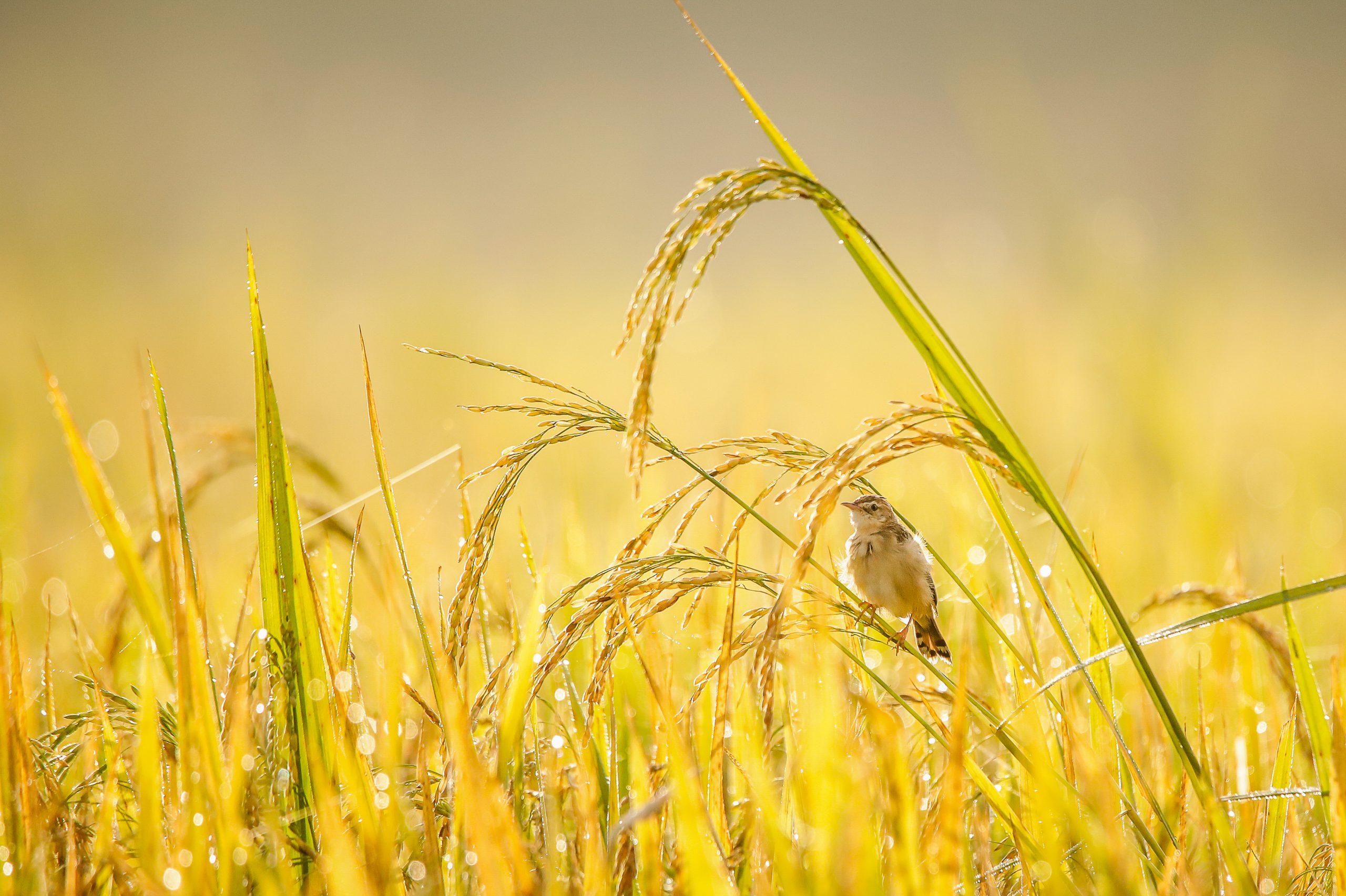 Bird sitting on wheat crop